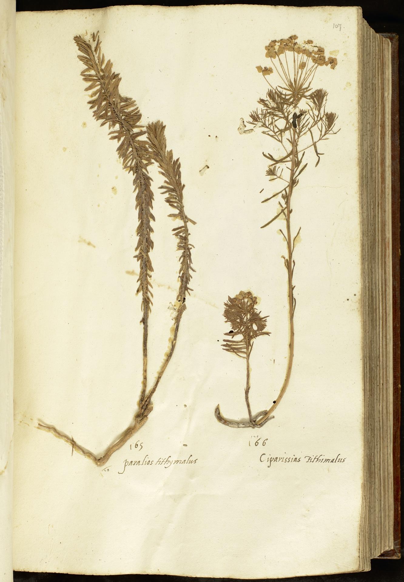 L.2110976 | Euphorbia paralias L.