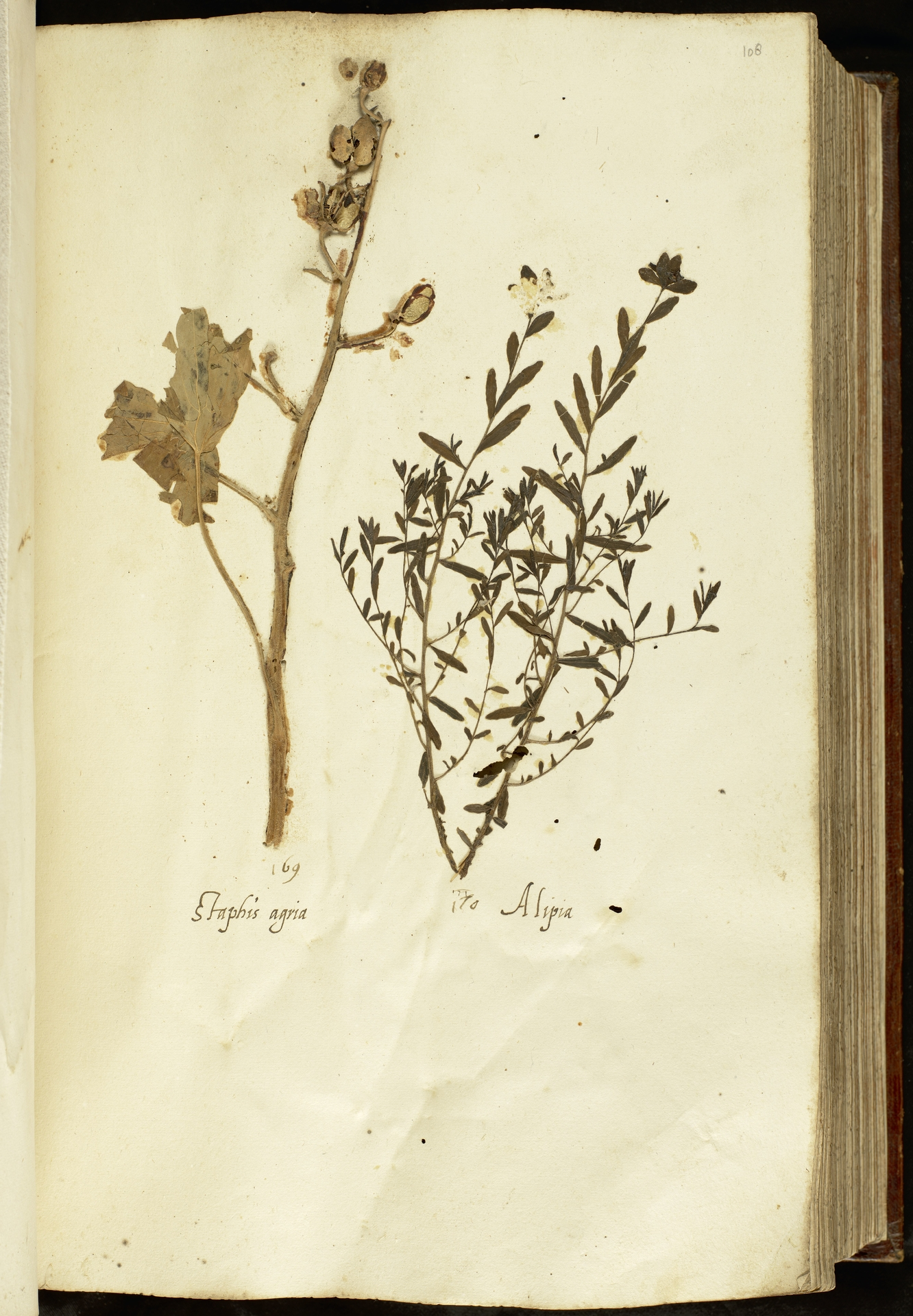 L.2110978 | Delphinium staphisagria L.