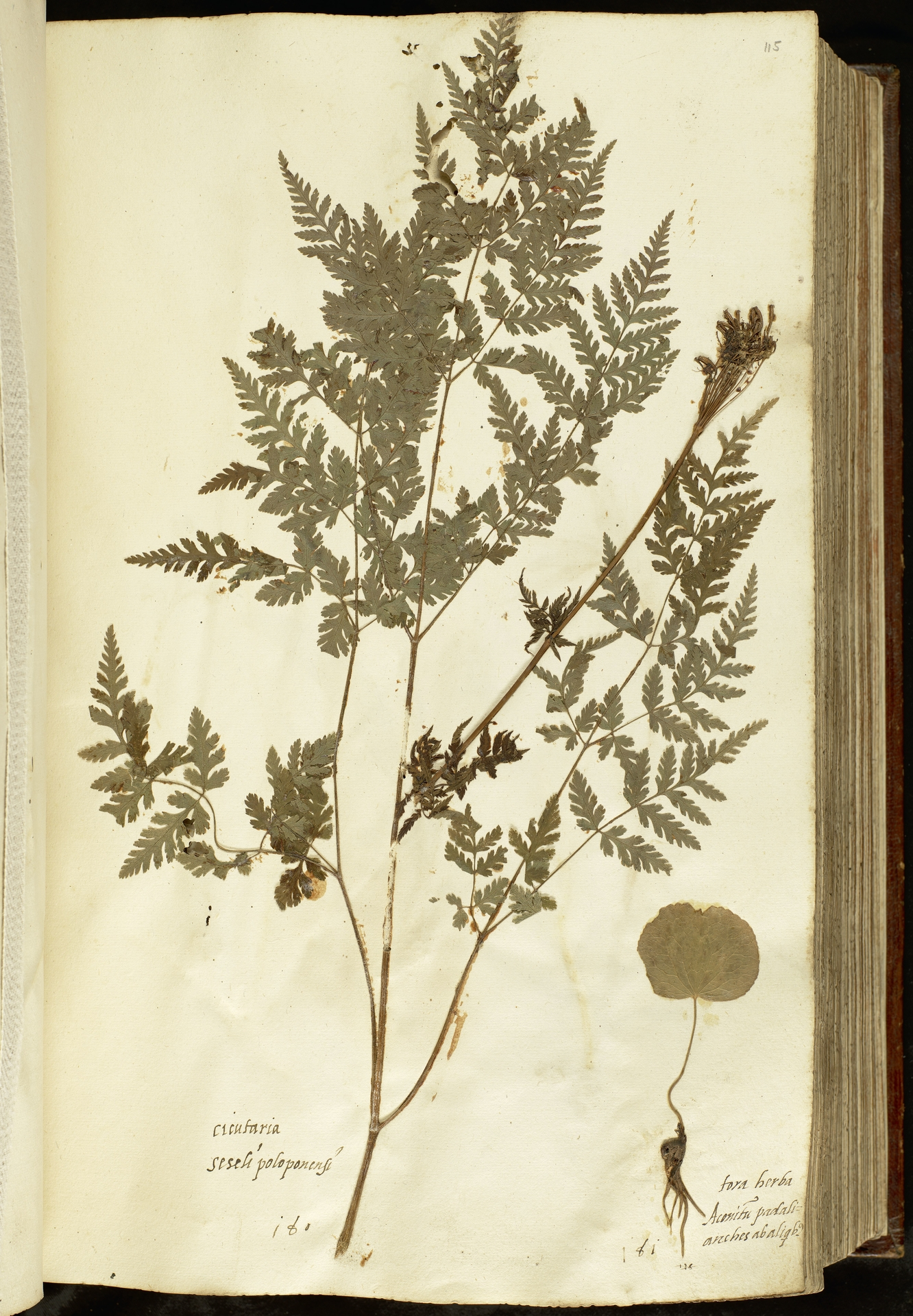 L.2110989 | Chaerophyllum aureum L.