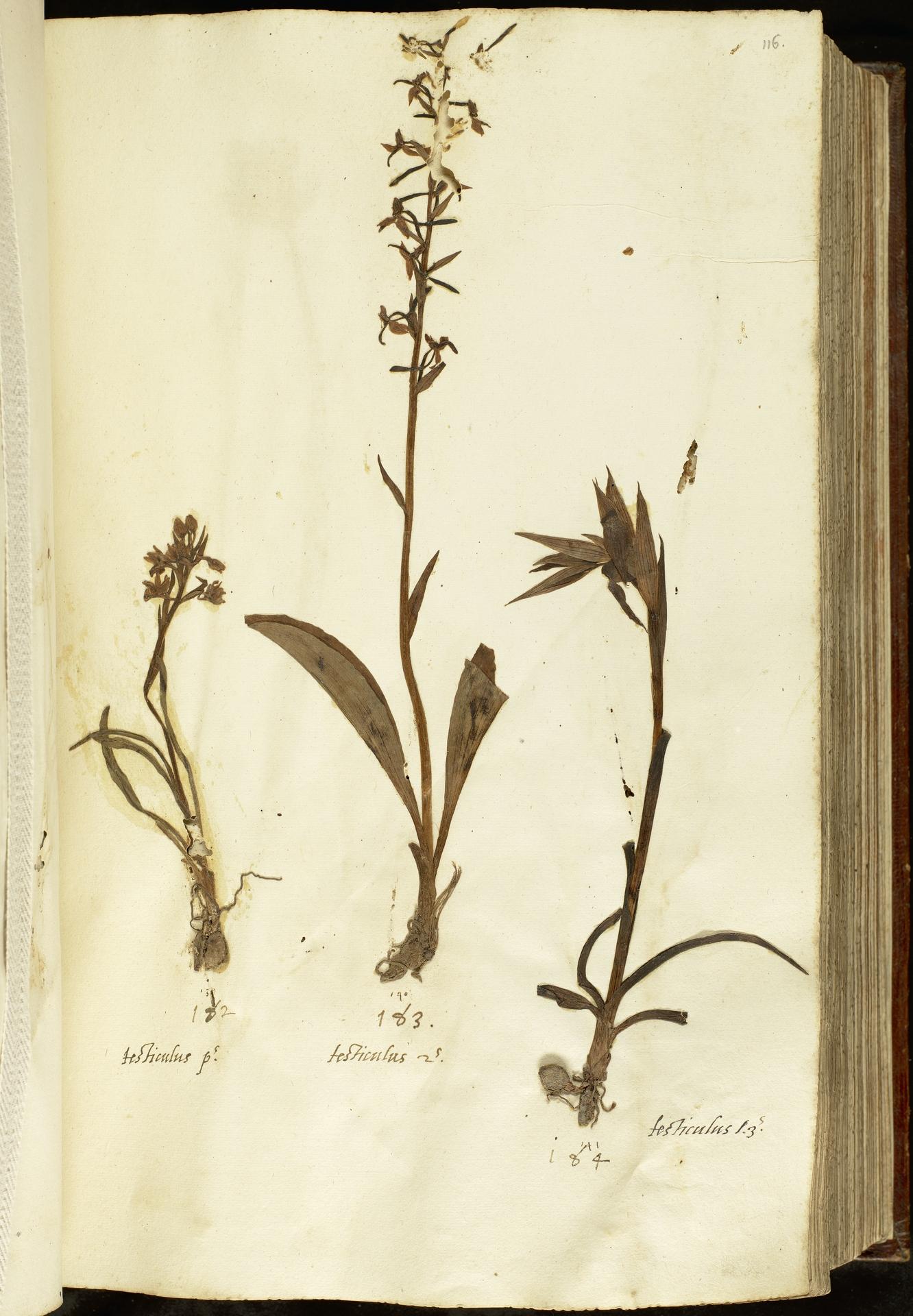 L.2110991 | Dactylorhiza romana (Sebast.) Soó