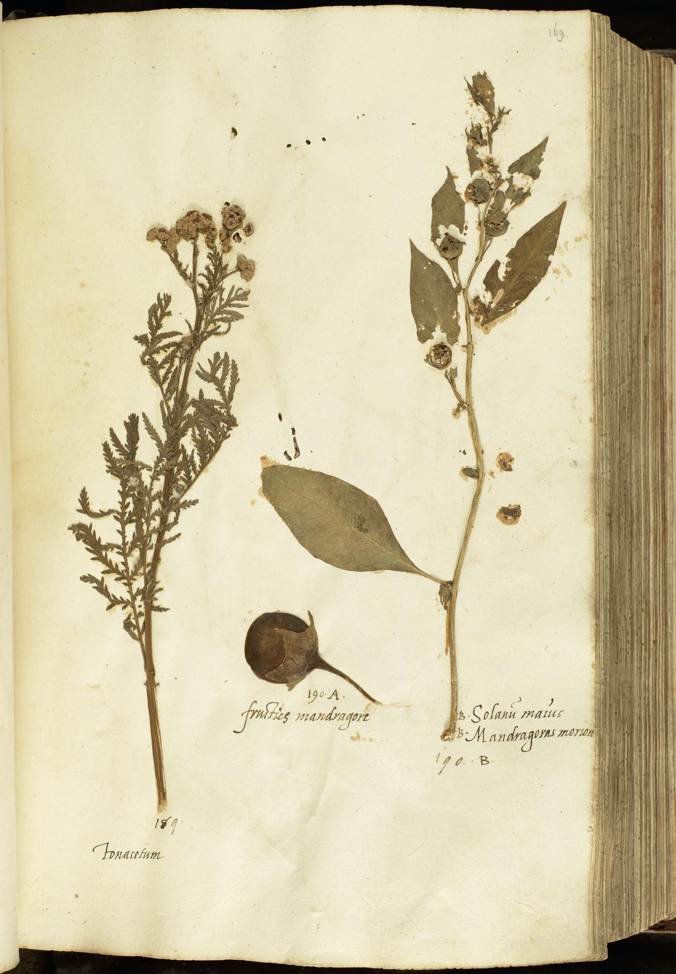 L.2111000 | Atropa belladonna L.