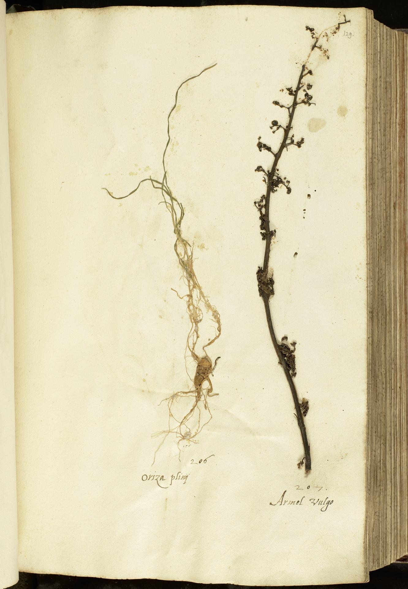 L.2111016 | Arrhenatherum elatius (L.) P.Beauv. ex J.Presl & C.Presl