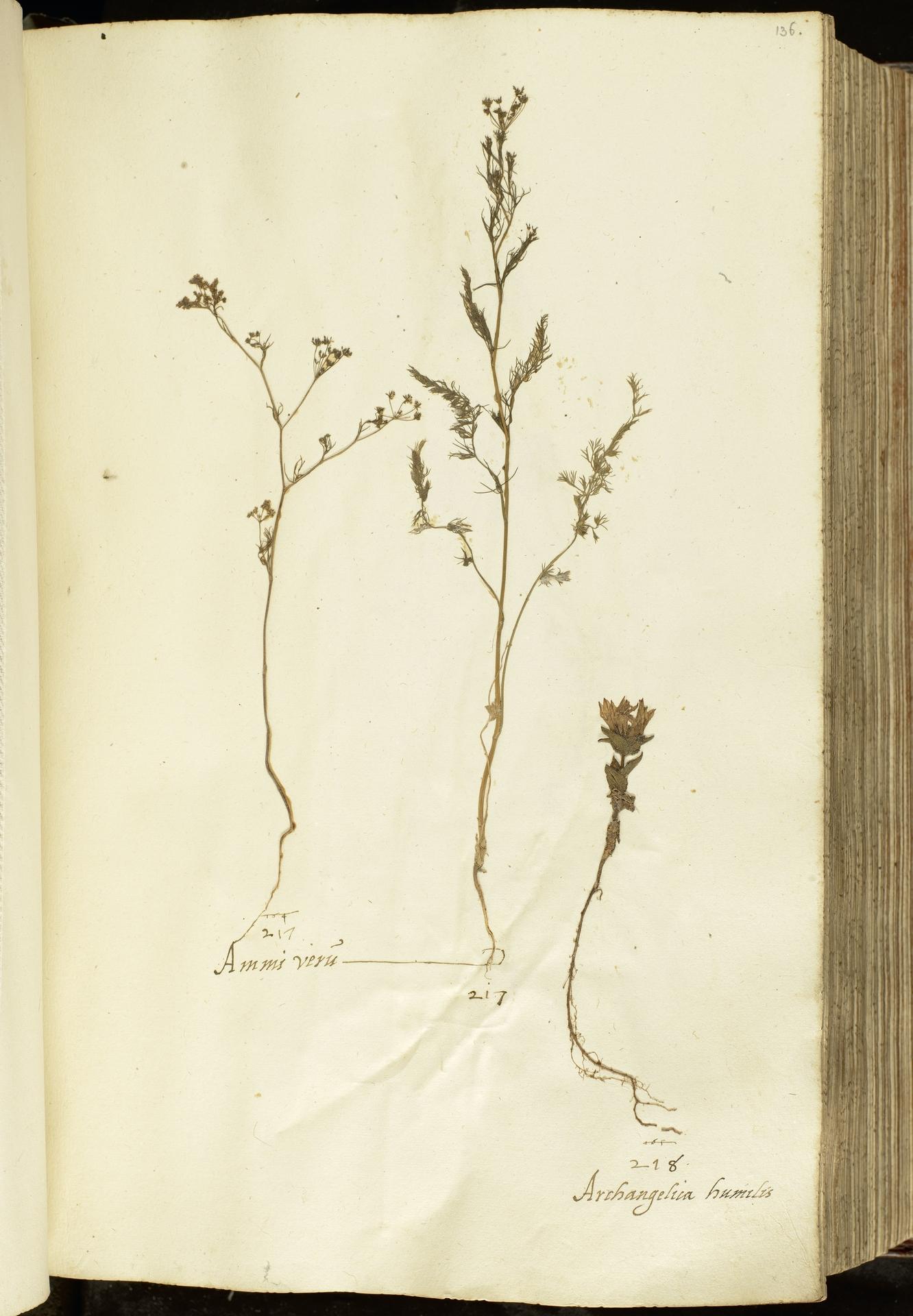 L.2111027 | Ammoides pusilla (Brot.) Breistr.