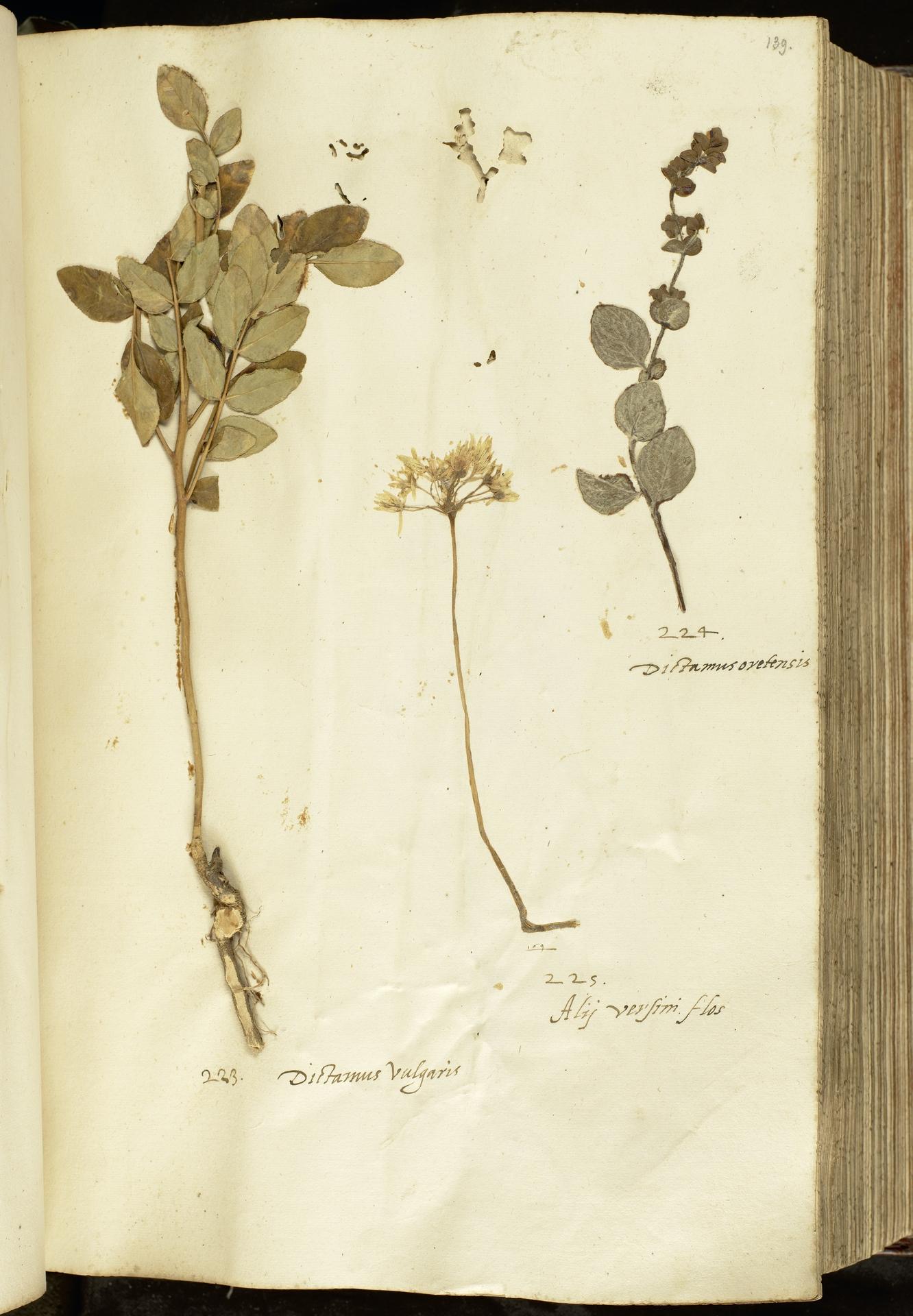 L.2111031 | Dictamnus albus L.