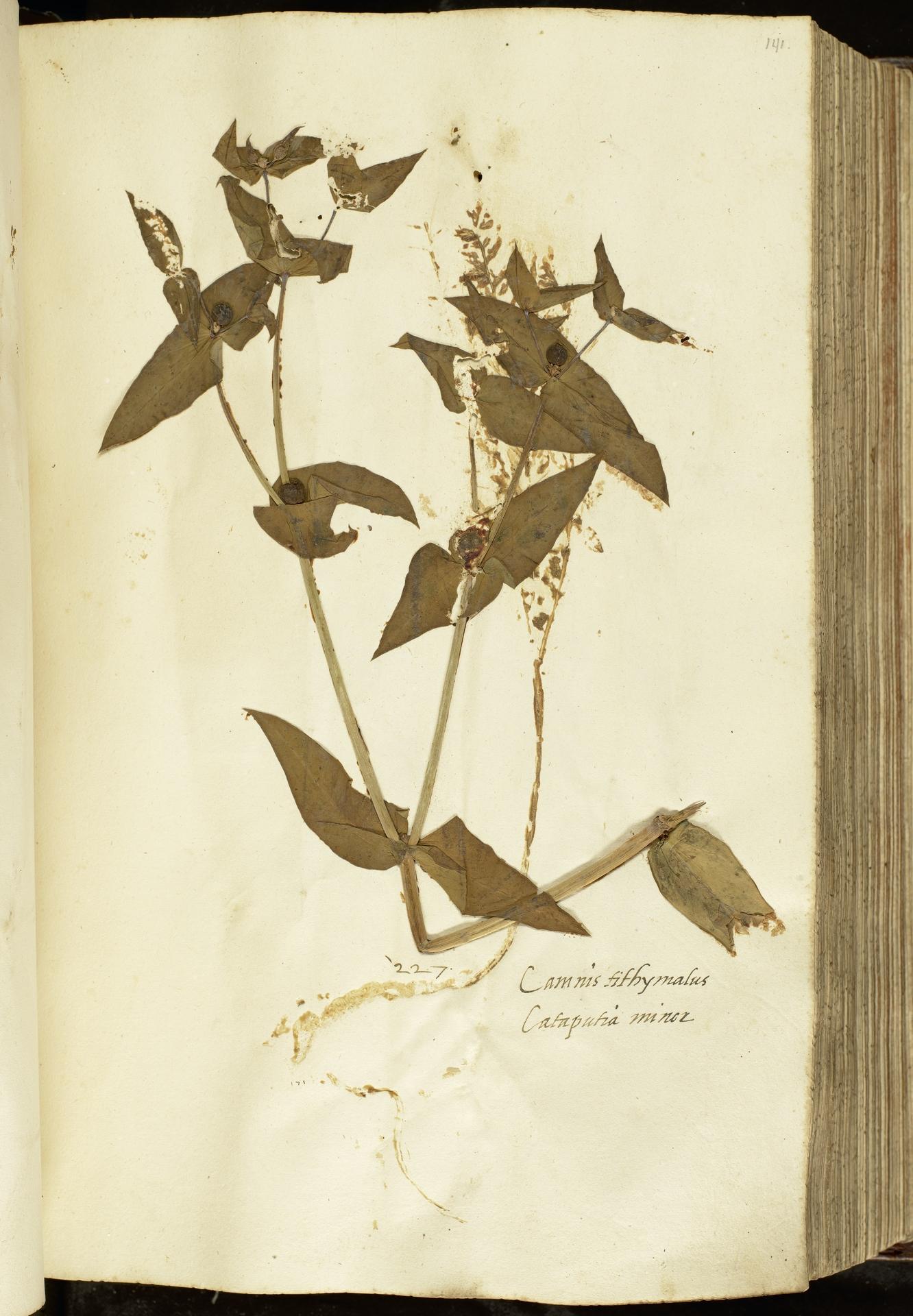 L.2111035 | Euphorbia lathyris L.