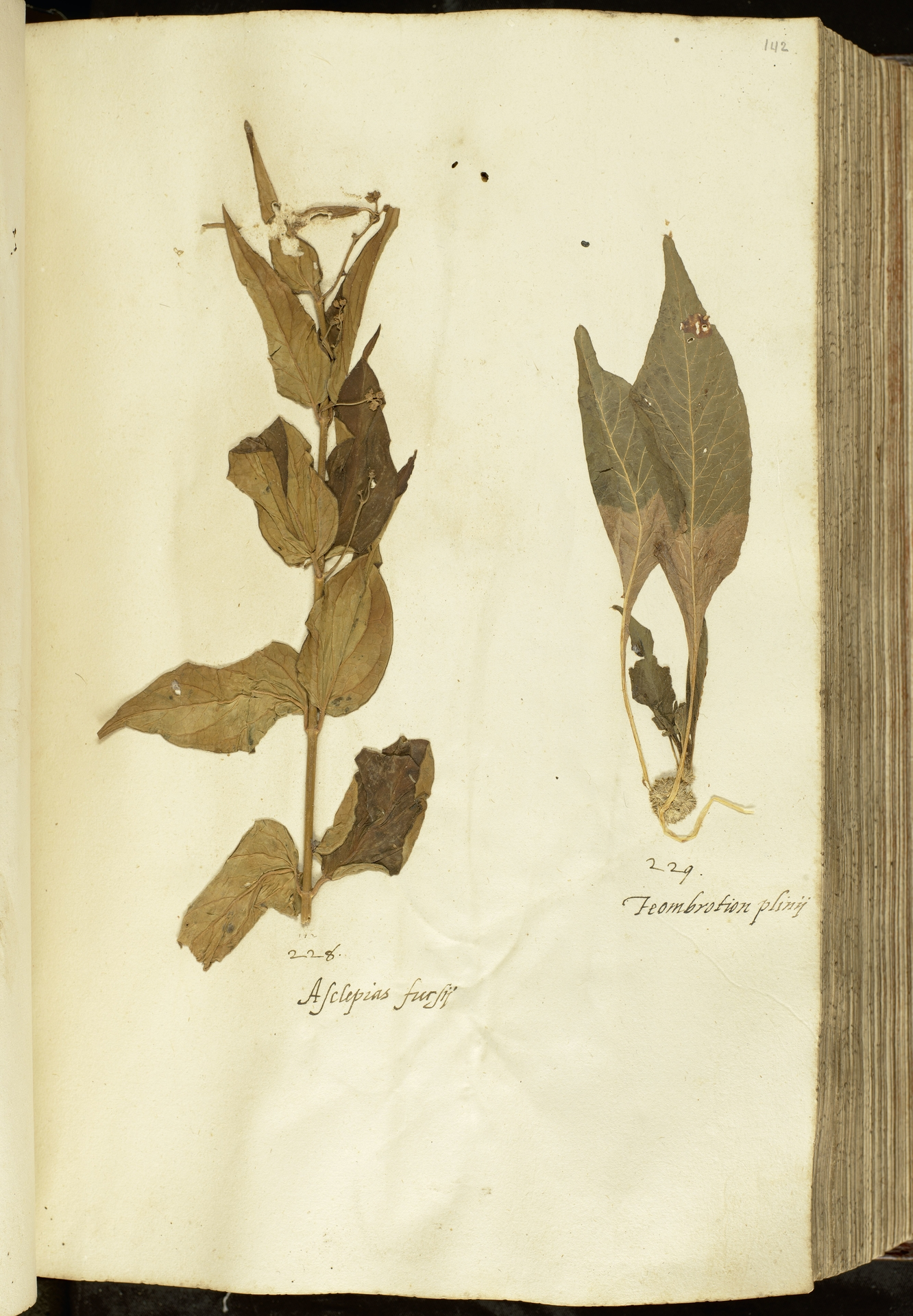 L.2111037 | Amaranthus tricolor L.