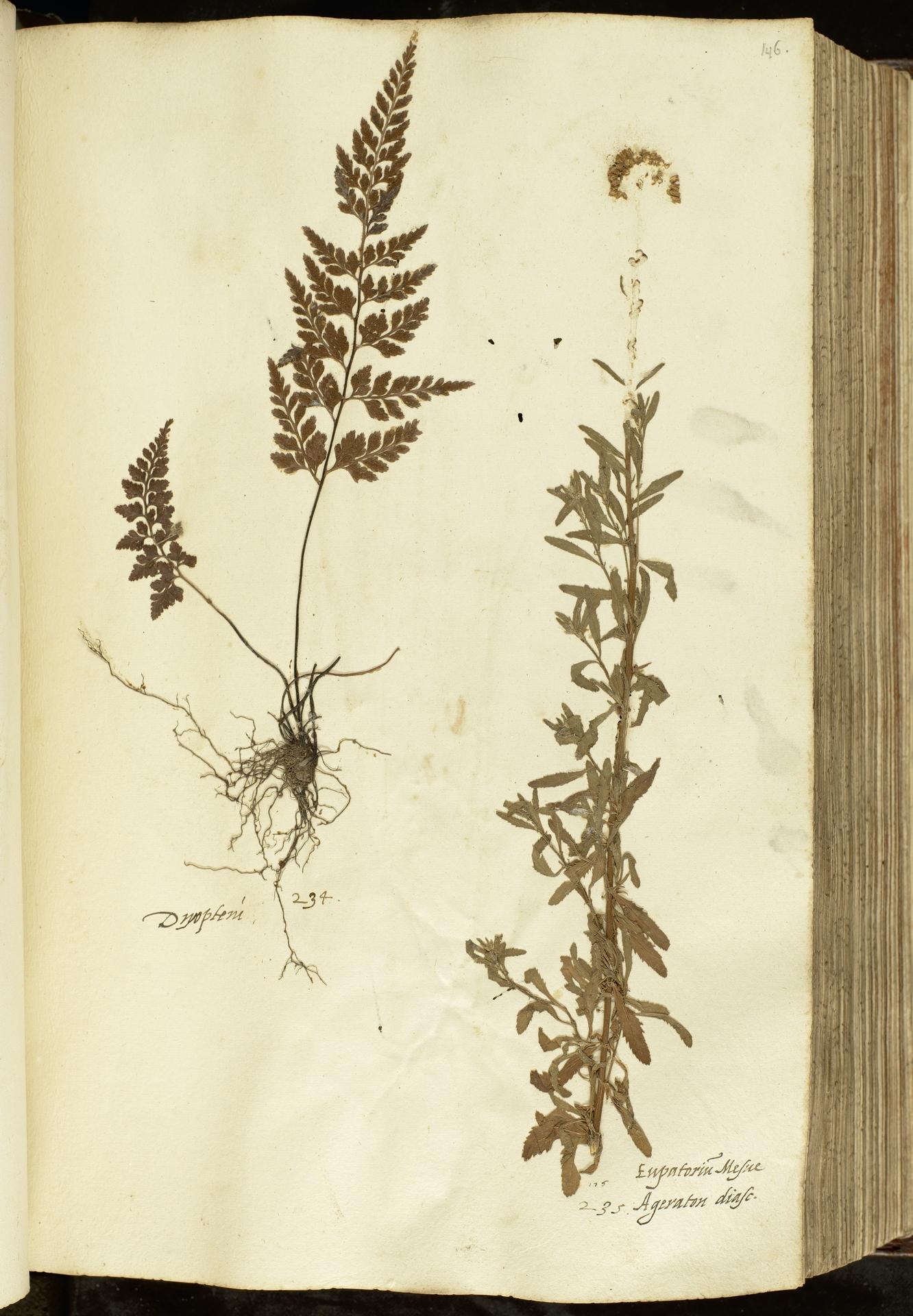 L.2111043 | Achillea ageratum L.