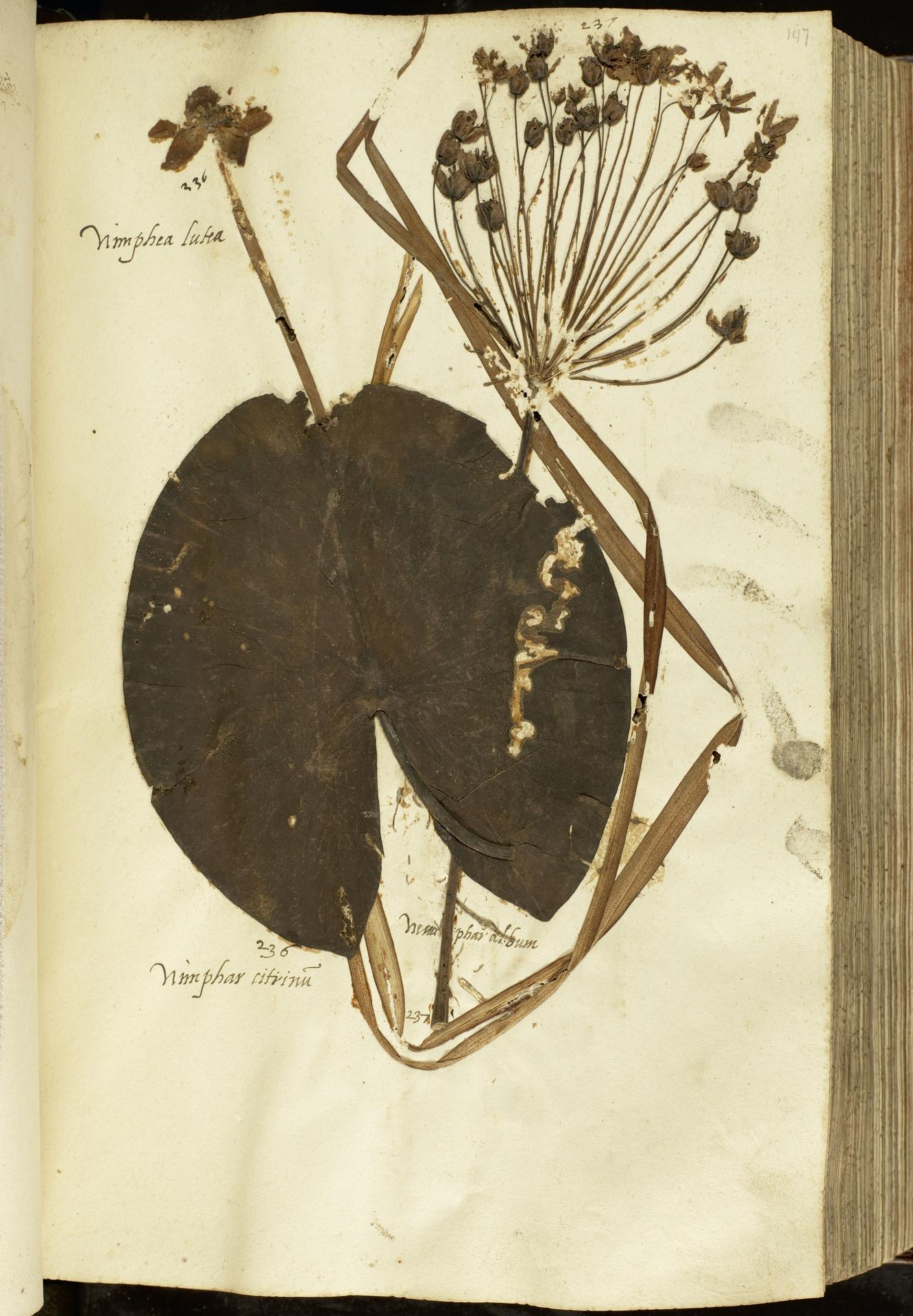 L.2111045 | Butomus umbellatus L.