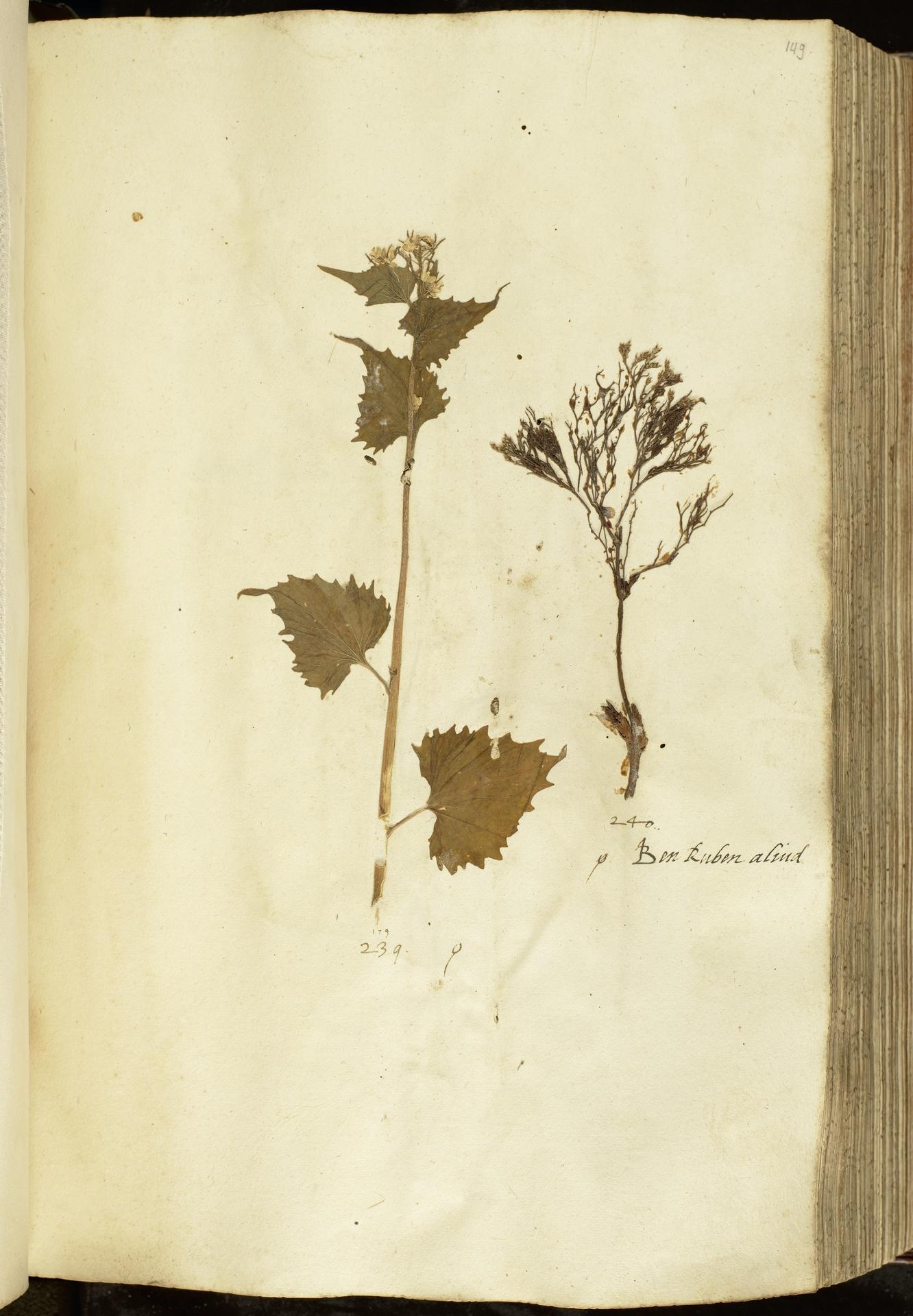 L.2111047 | Alliaria petiolata (M.Bieb.) Cavara & Grande