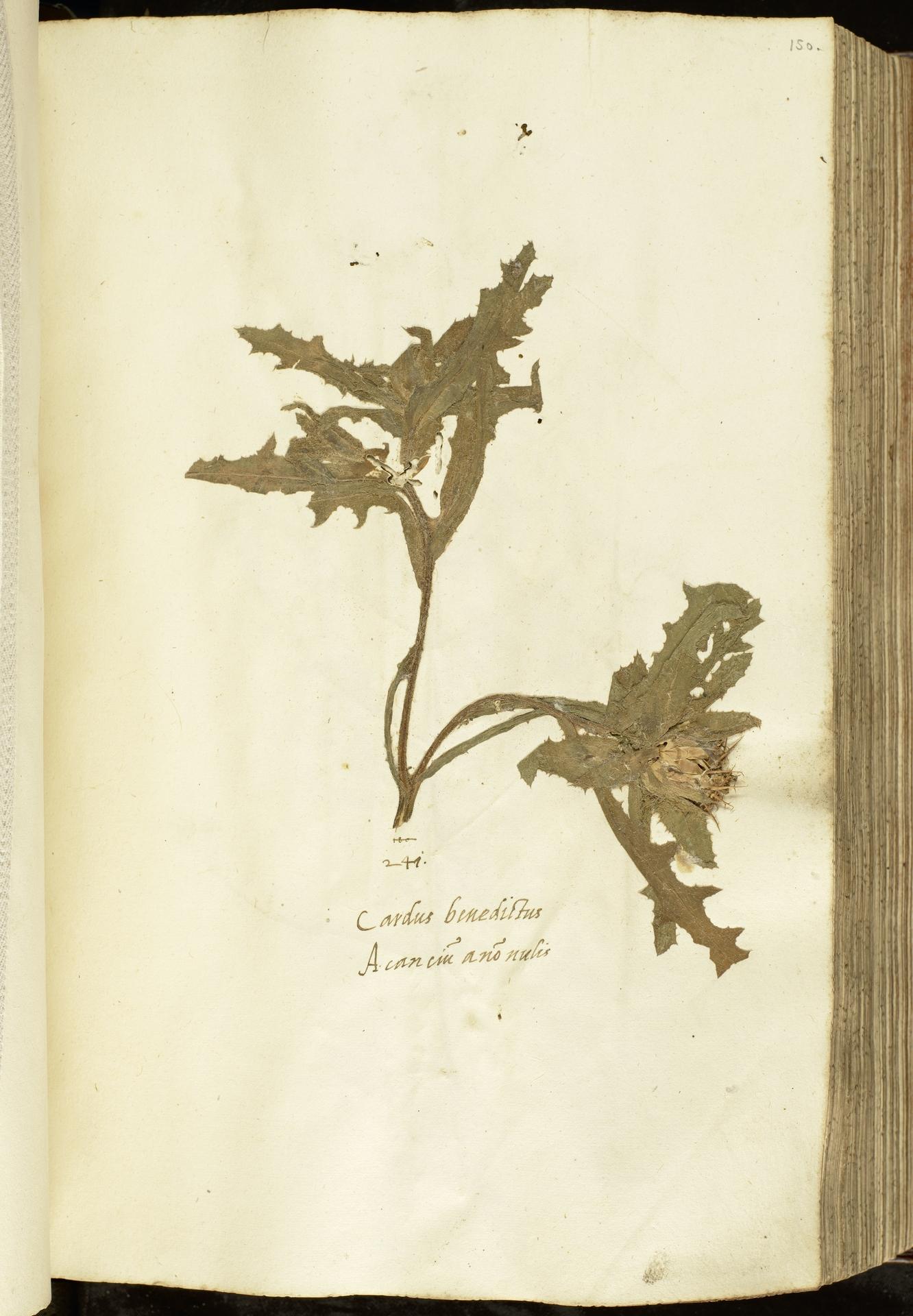 L.2111049 | Centaurea benedicta (L.) L.