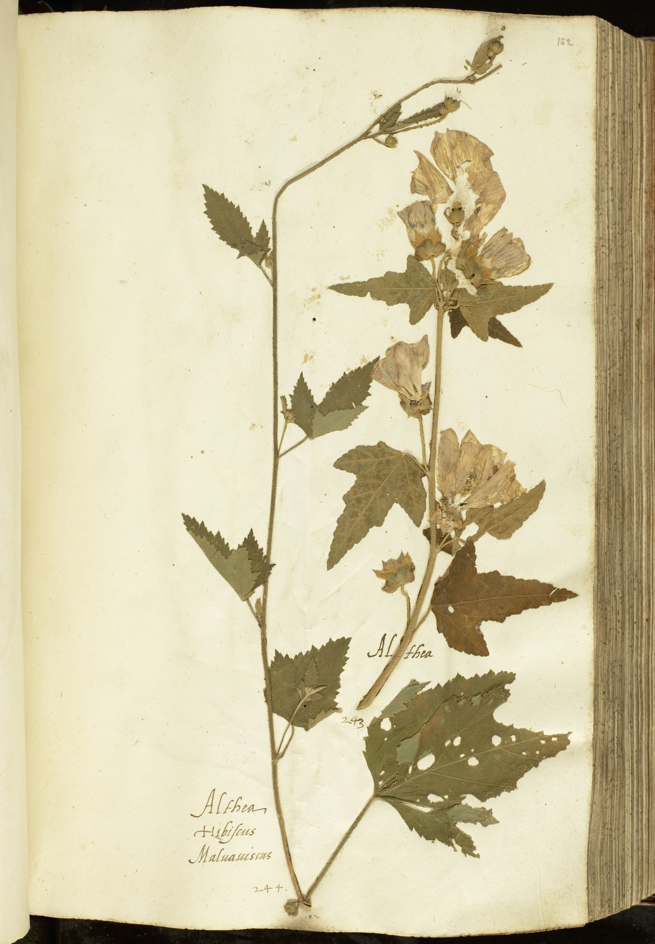 L.2111052 | Althaea officinalis L.