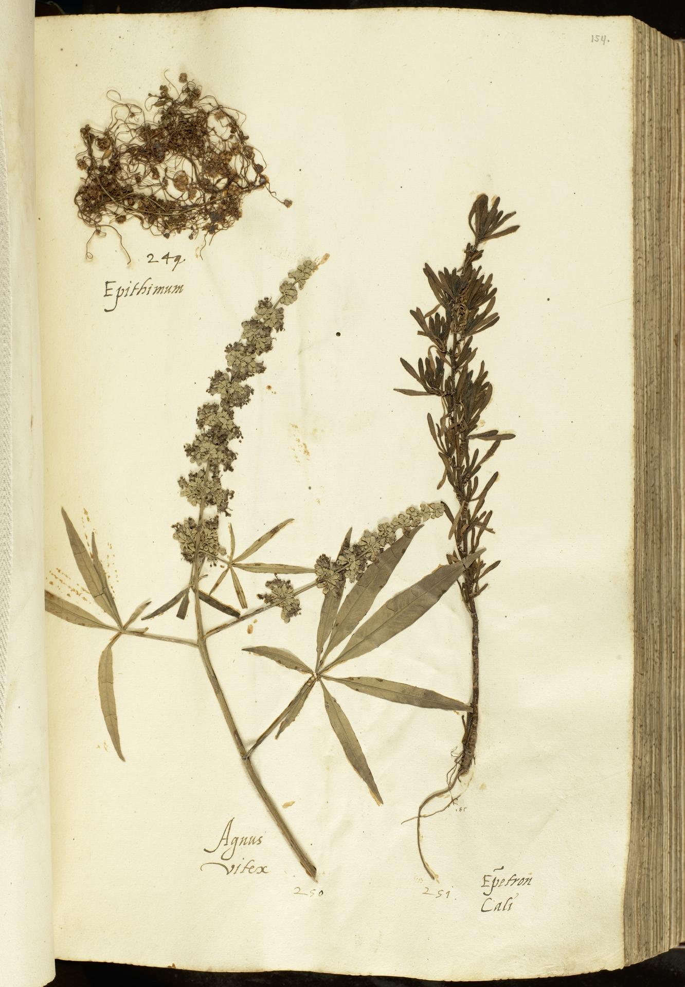 L.2111054 | Cuscuta epithymum (L.) L.