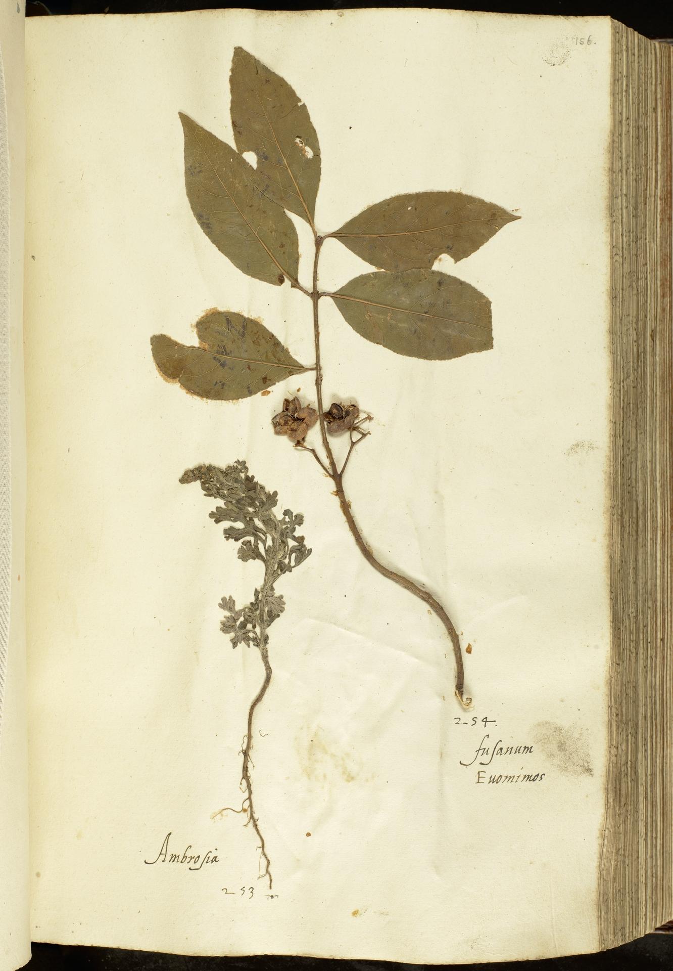 L.2111059 | Euonymus europaeus L.