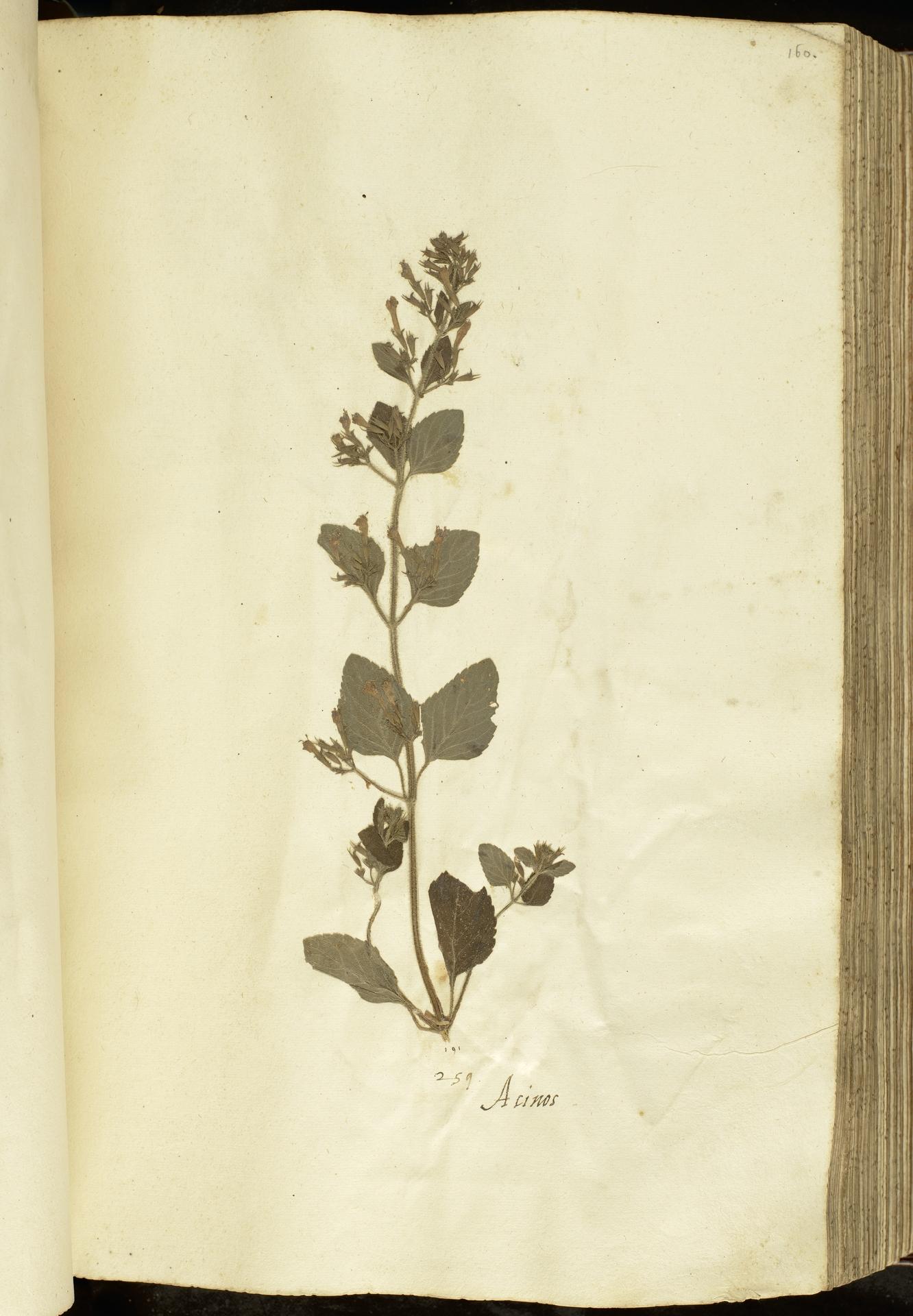 L.2111064 | Calamintha nepeta (L.) Savi