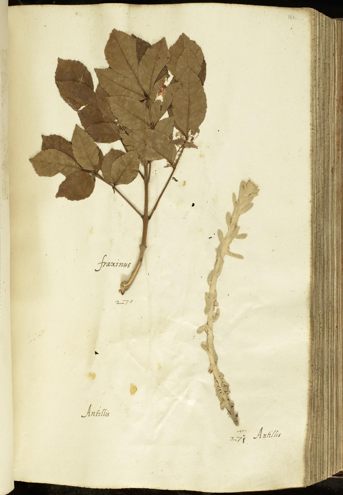 L.2111065 | Fraxinus ornus L.