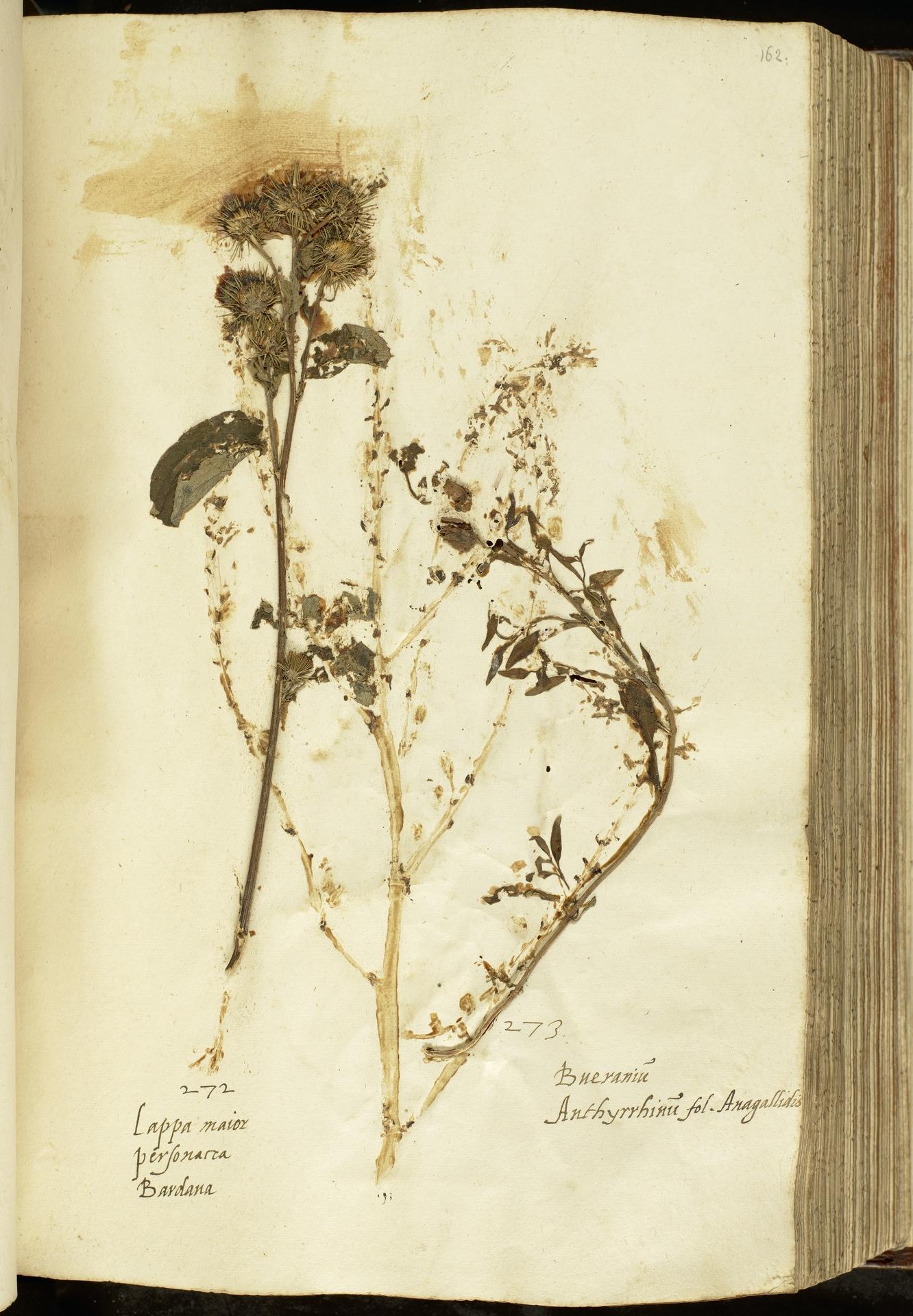L.2111068 | Antirrhinum majus L.
