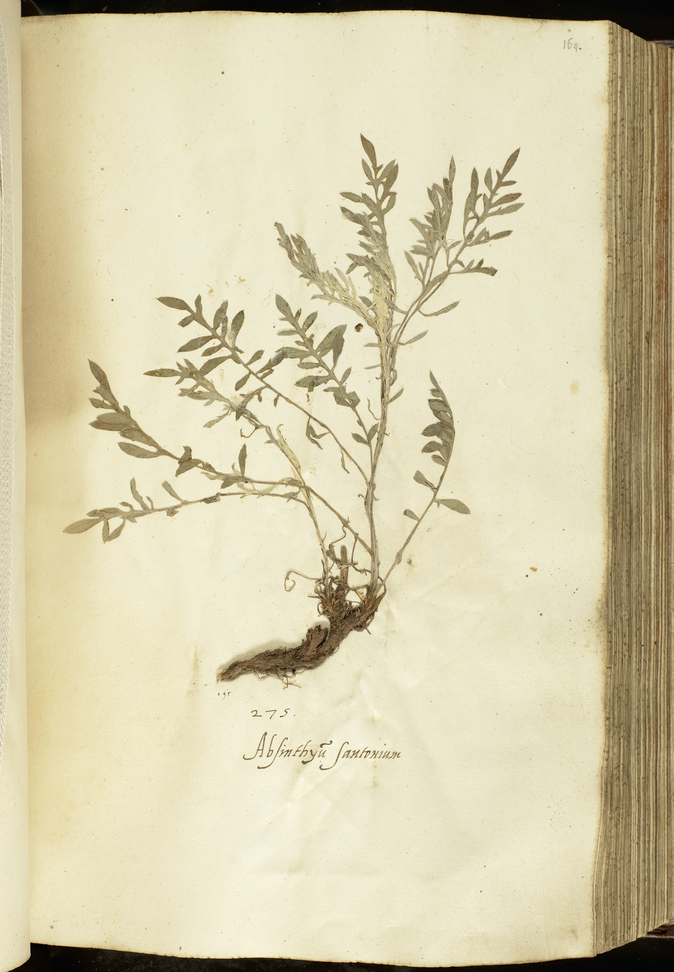 L.2111070 | Centaurea stoebe L.