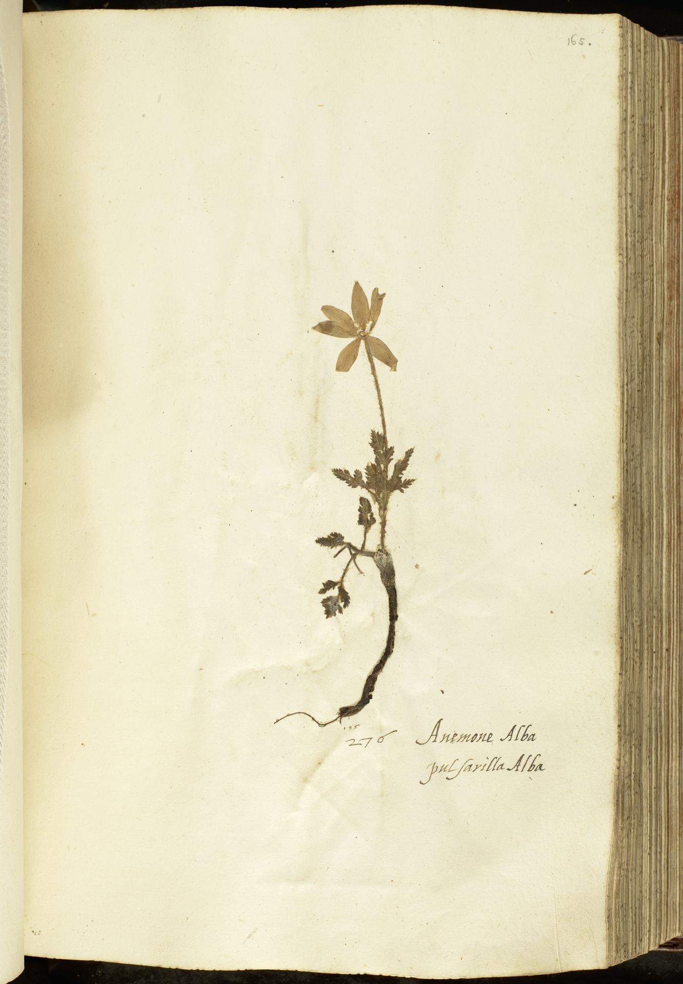 L.2111071 | Anemone alpina L.
