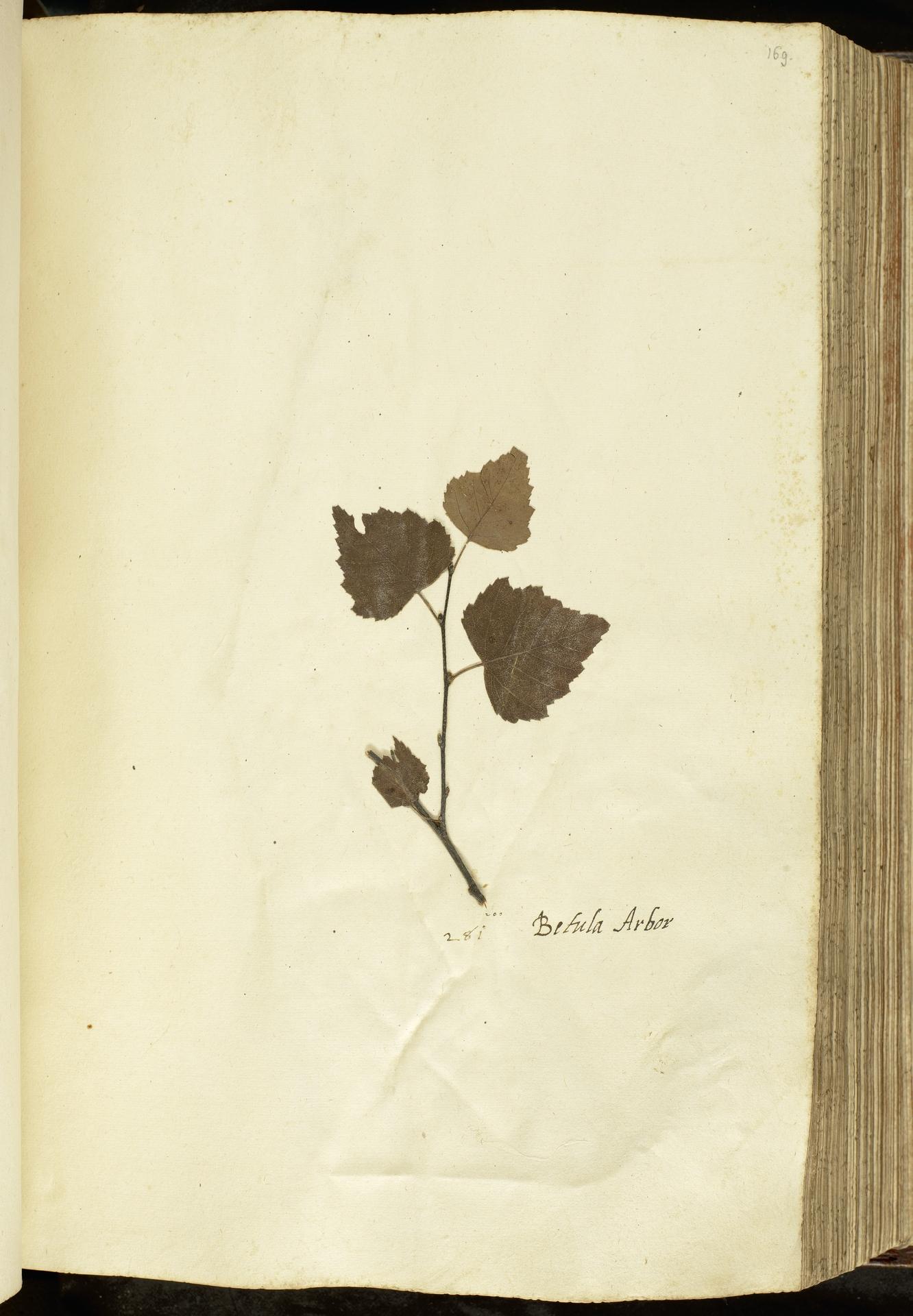 L.2111076 | Betula pubescens Ehrh.