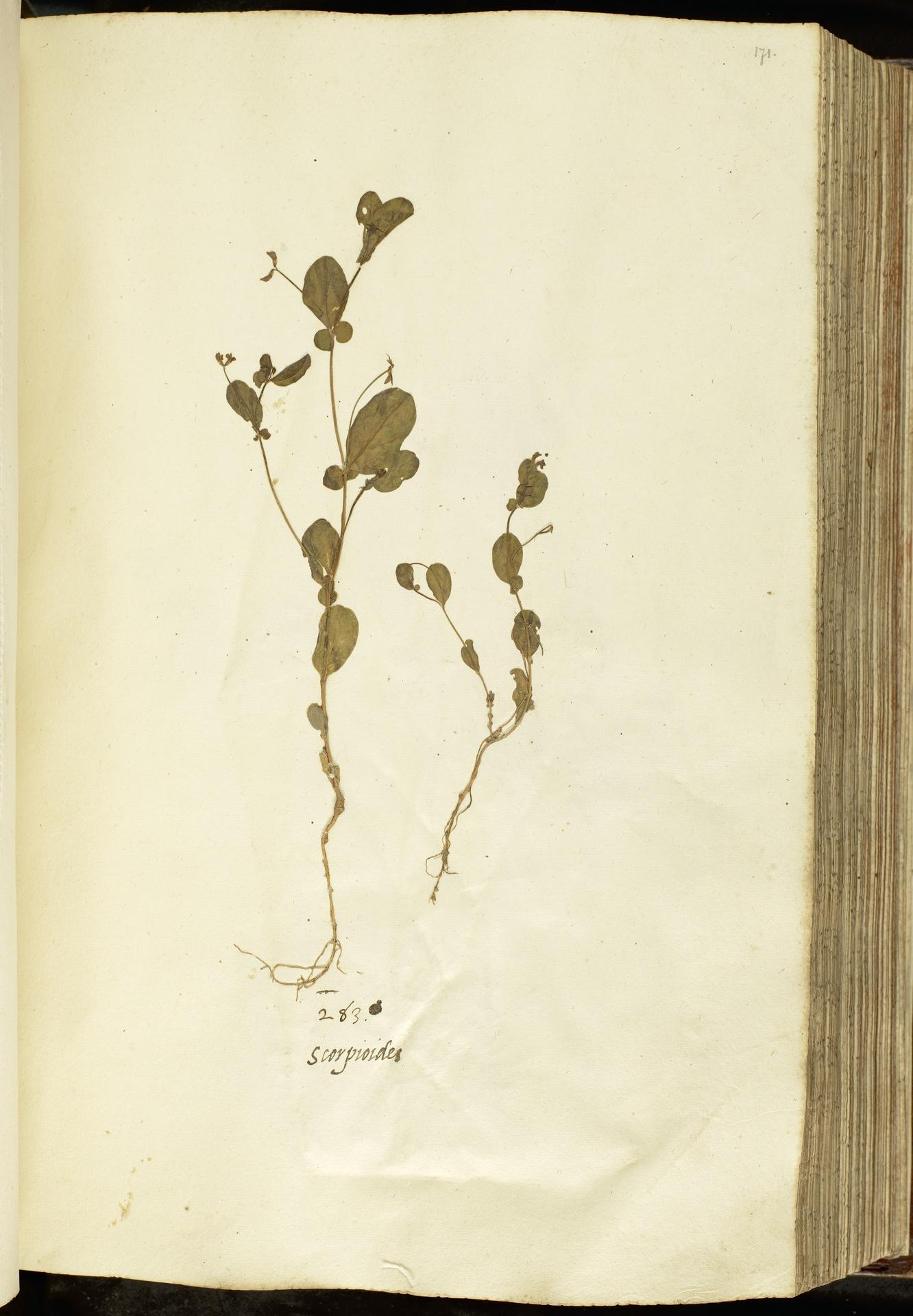 L.2111078 | Coronilla scorpioides (L.) W.D.J.Koch