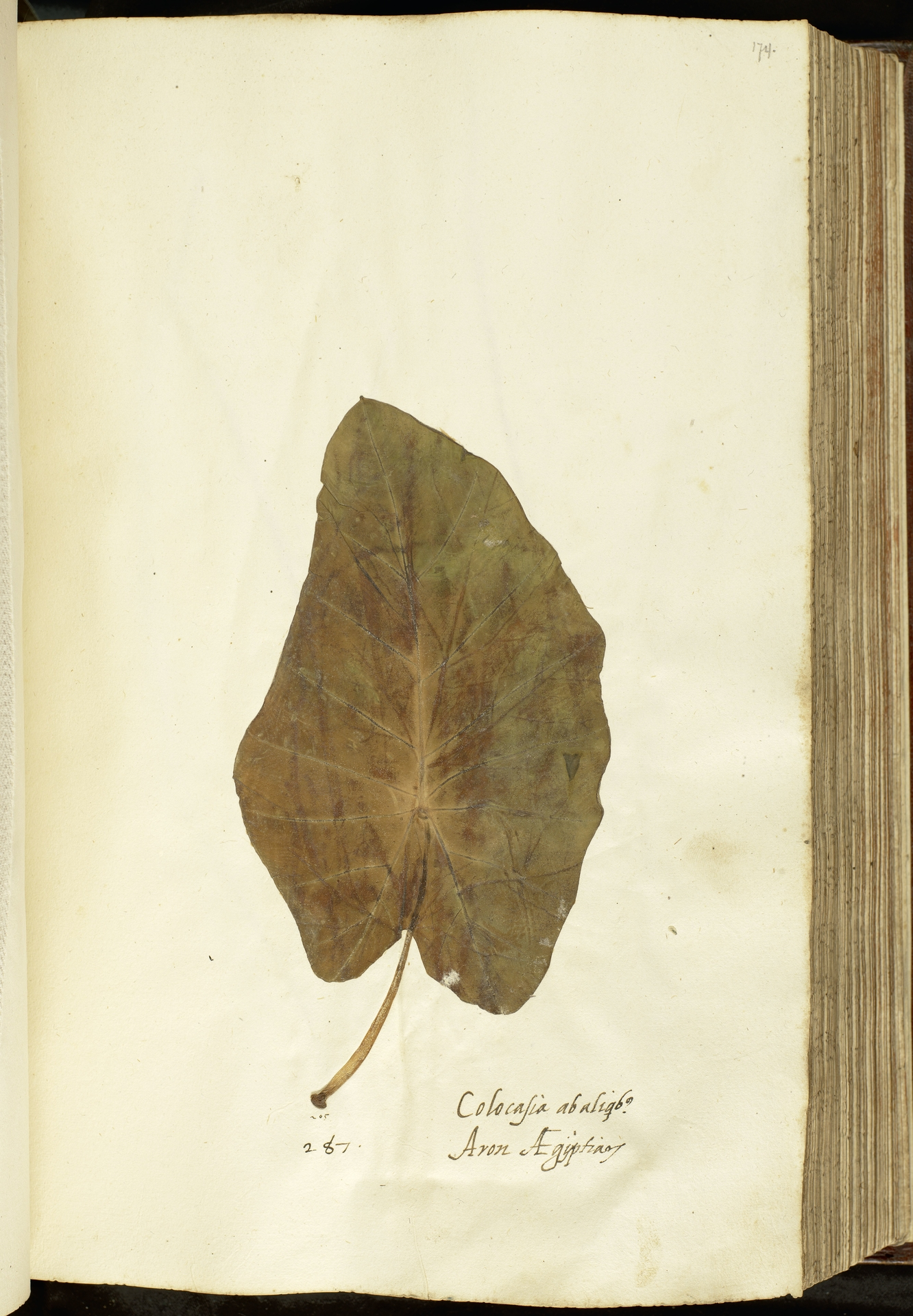 L.2111085 | Colocasia esculenta (L.) Schott
