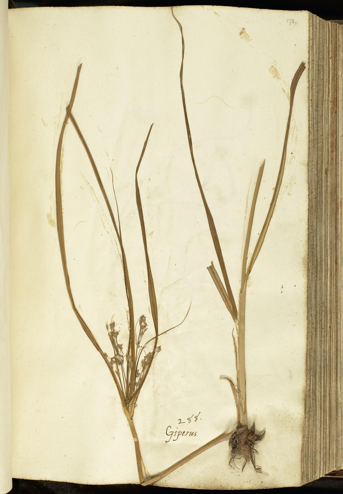 L.2111086 | Cyperus longus L.