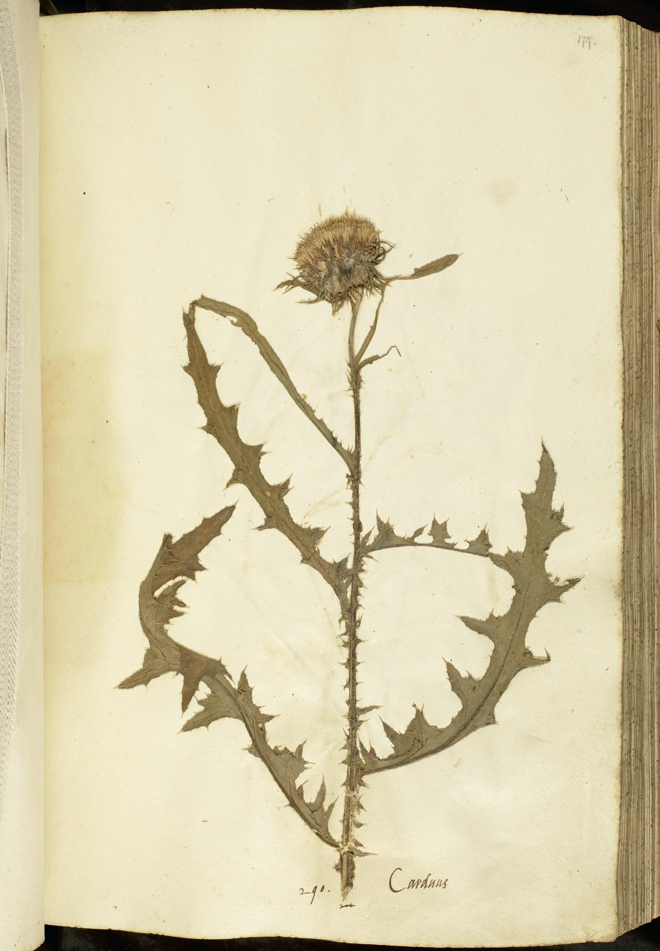 L.2111088 | Carduus nutans L.