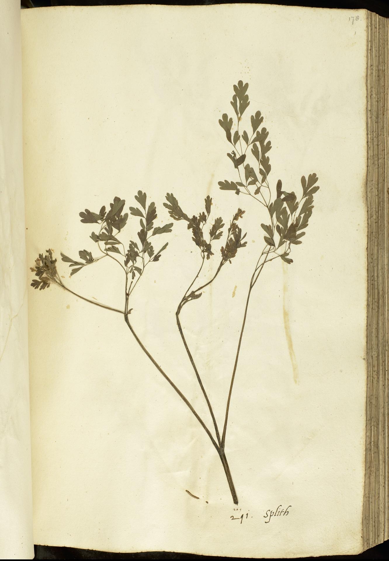 L.2111089 | Pseudofumaria alba (Mill.) Lidén