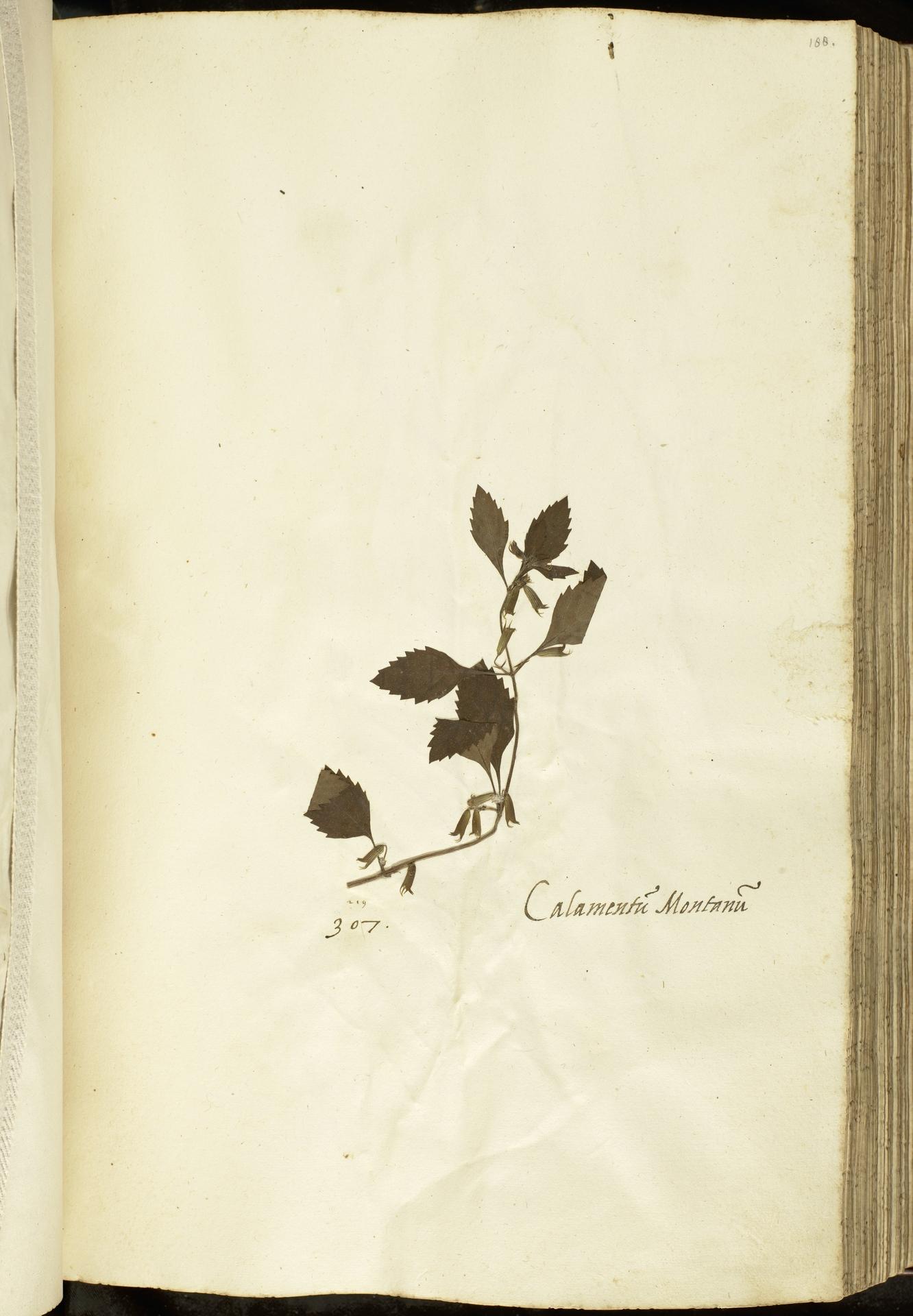 L.2111105 | Calamintha grandiflora (L.) Moench