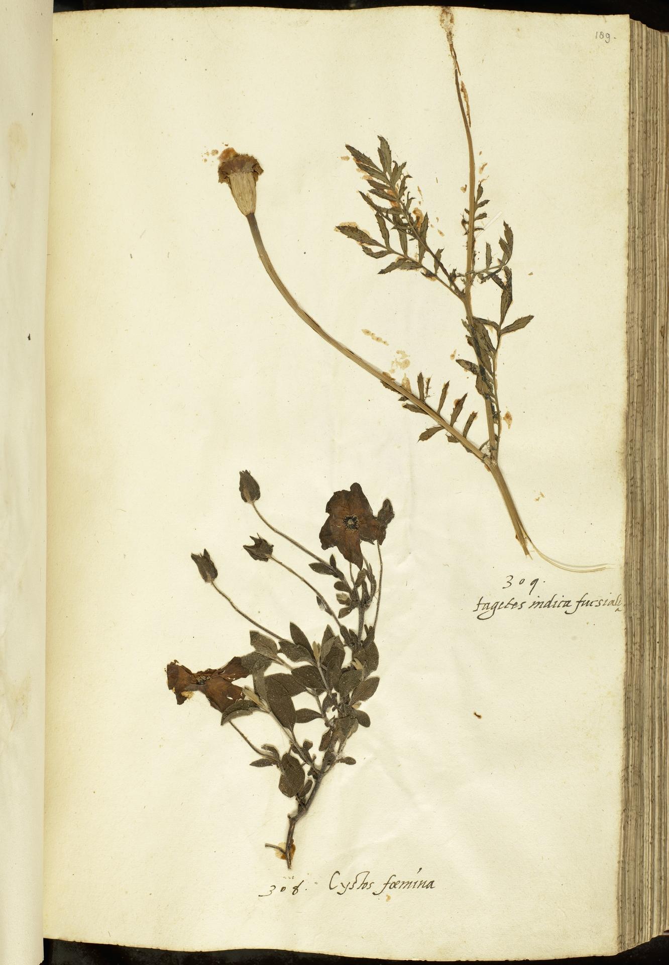 L.2111106 | Cistus salviifolius L.