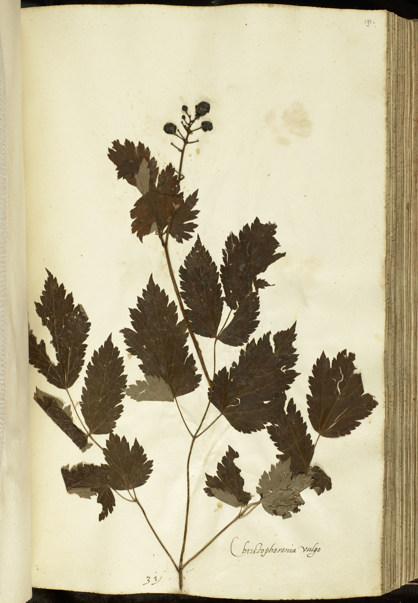 L.2111109 | Actaea spicata L.
