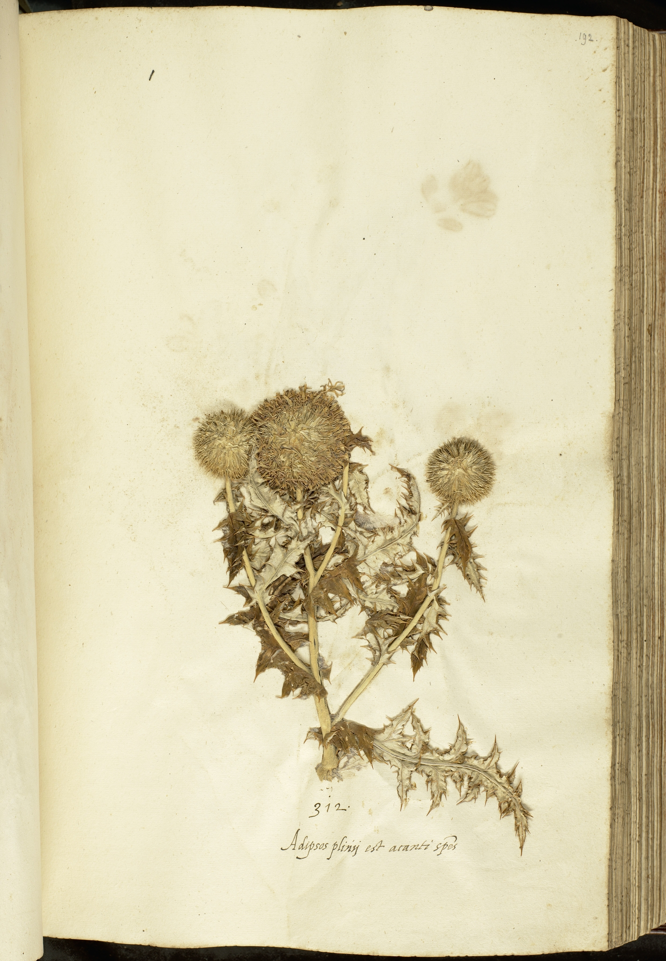 L.2111110   Echinops ritro L.
