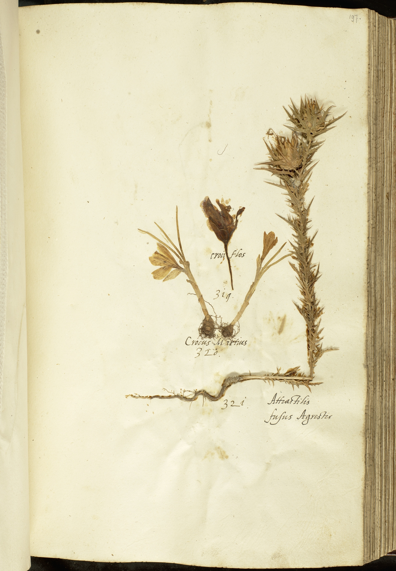 L.2111119 | Carthamus lanatus L.