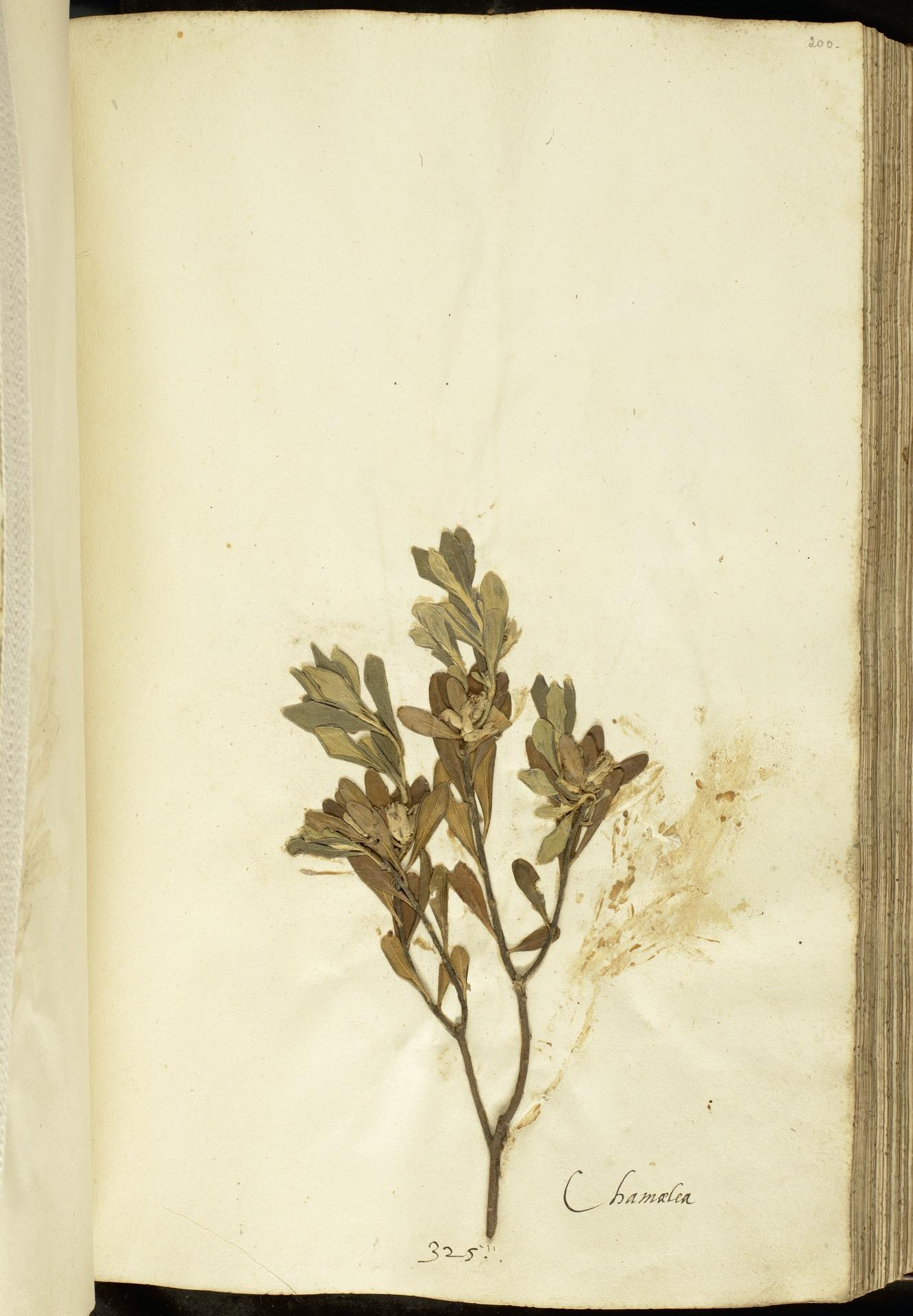 L.2111123 | Daphne sericea Vahl