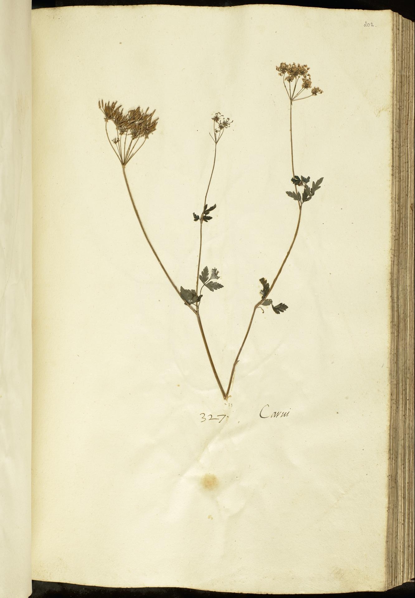 L.2111125 | Chaerophyllum temulum L.