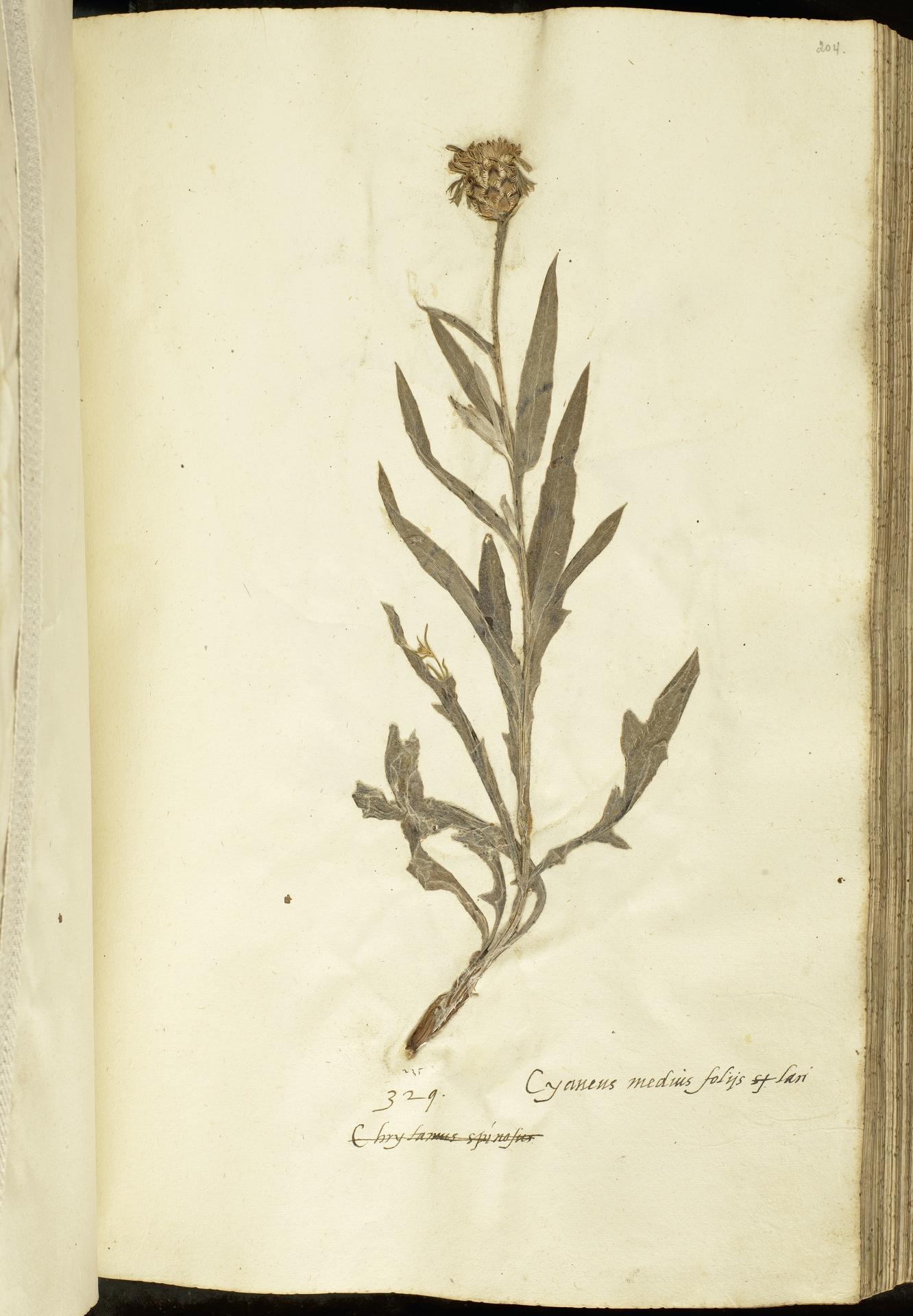 L.2111127 | Cyanus triumfetti (All.) Dostál ex Á.Löve & D.Löve