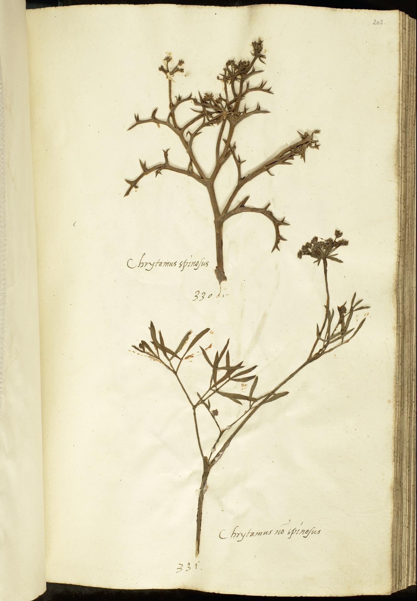L.2111128   Echinophora spinosa L.
