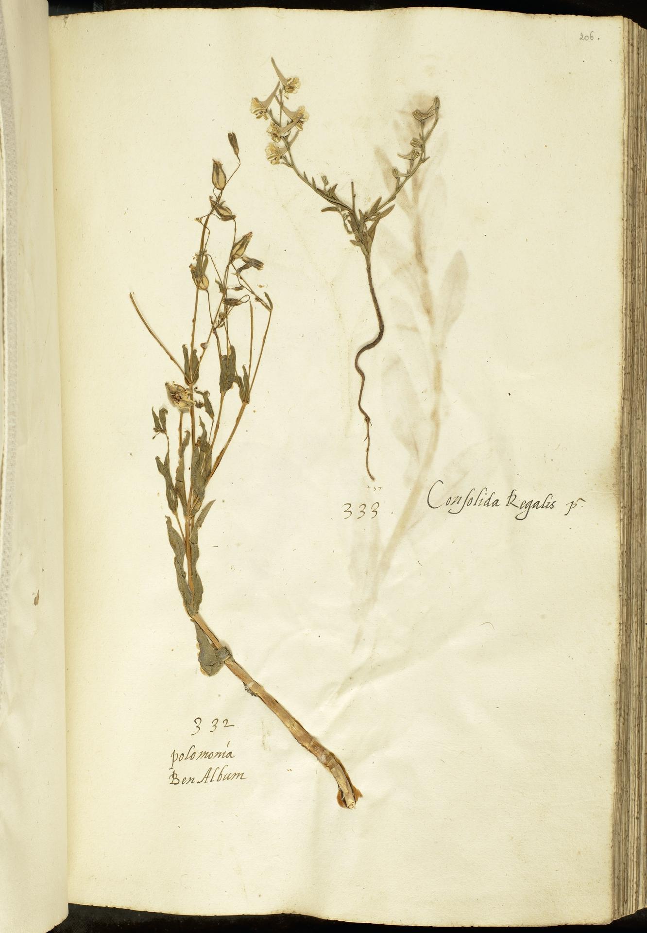 L.2111131 | Delphinium peregrinum L.
