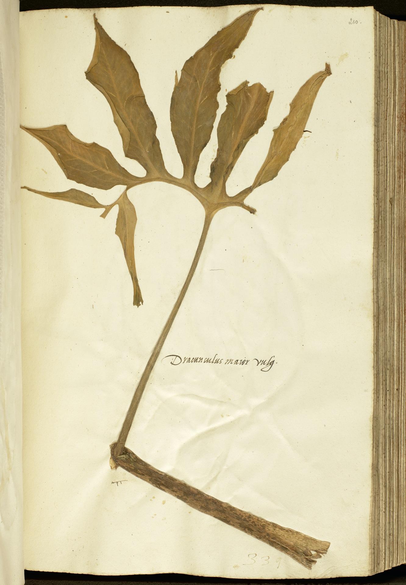 L.2111137 | Dracunculus vulgaris Schott