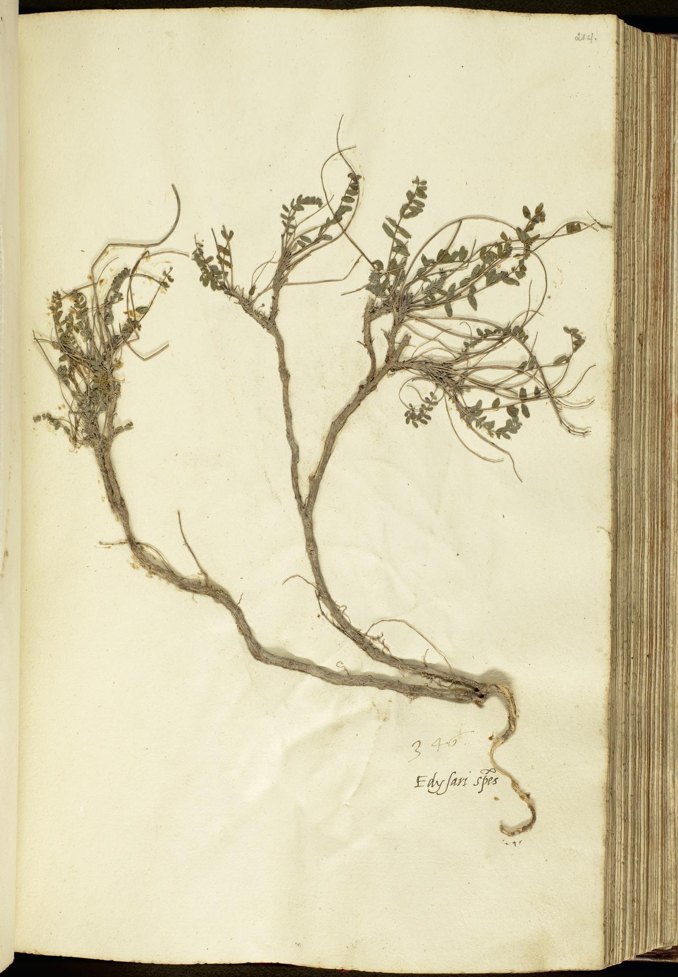 L.2111144 | Astragalus monspessulanus L.