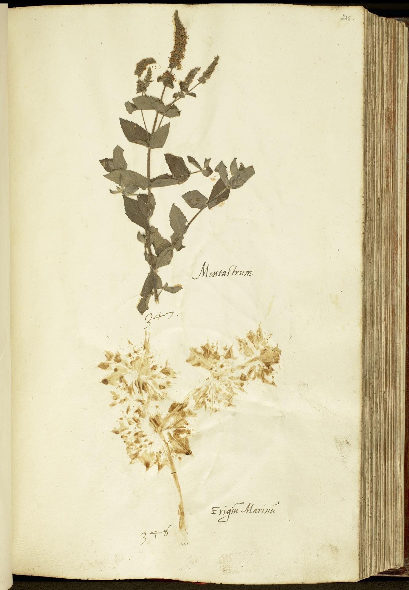 L.2111146 | Eryngium maritimum L.