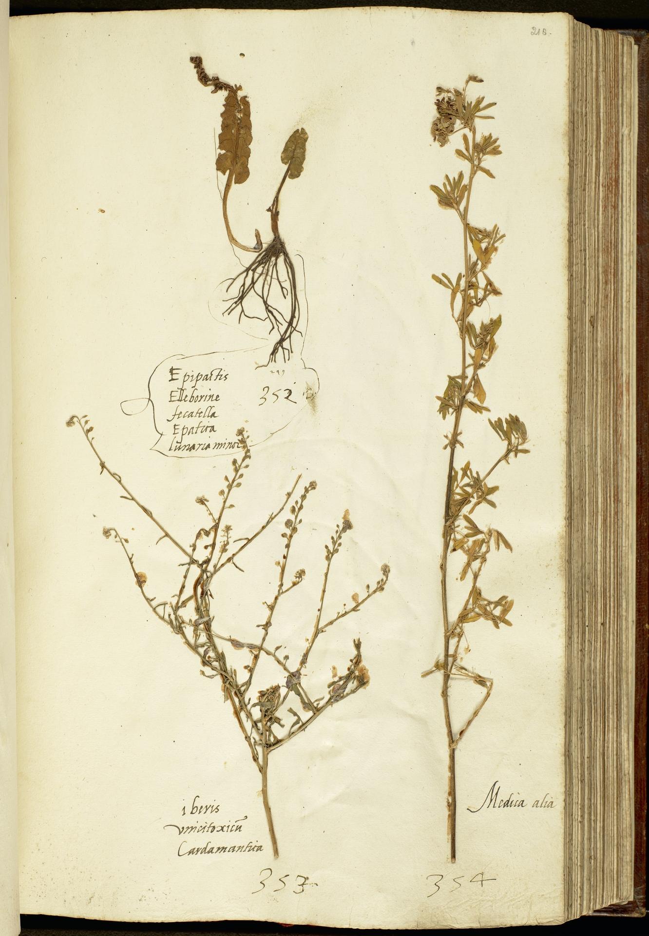 L.2111150 | Botrychium lunaria (L.) Sw.