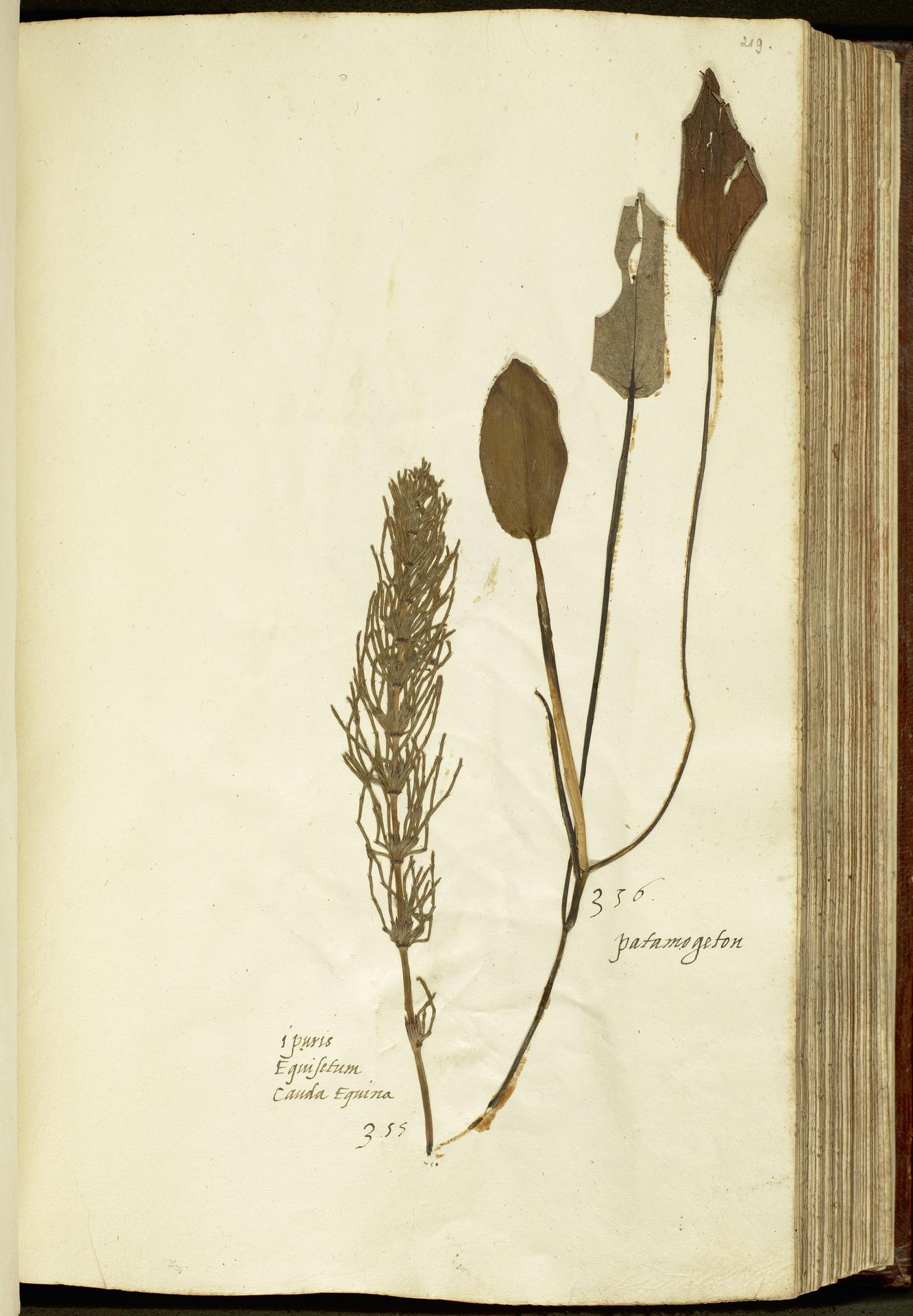 L.2111153 | Equisetum arvense L.