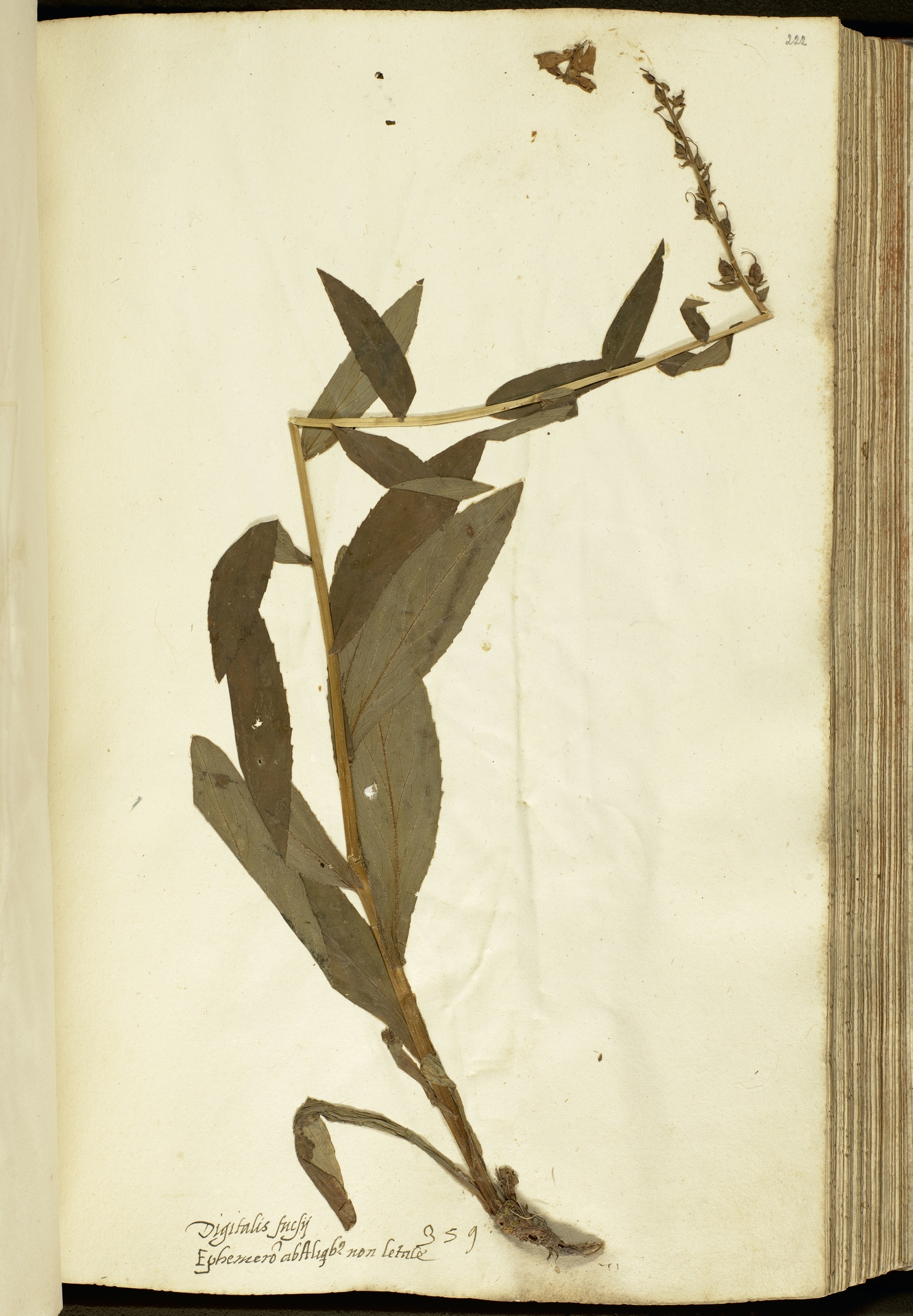 L.2111157 | Digitalis lutea L.