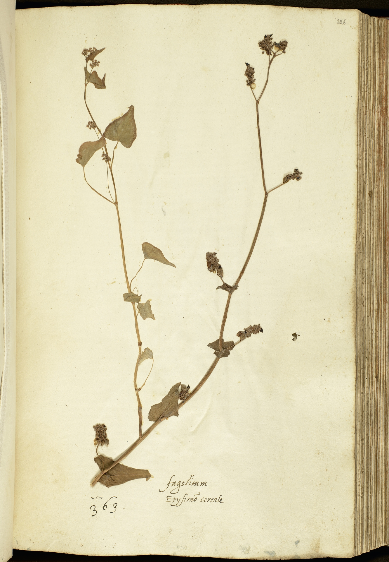 L.2111161 | Fagopyrum esculentum Moench
