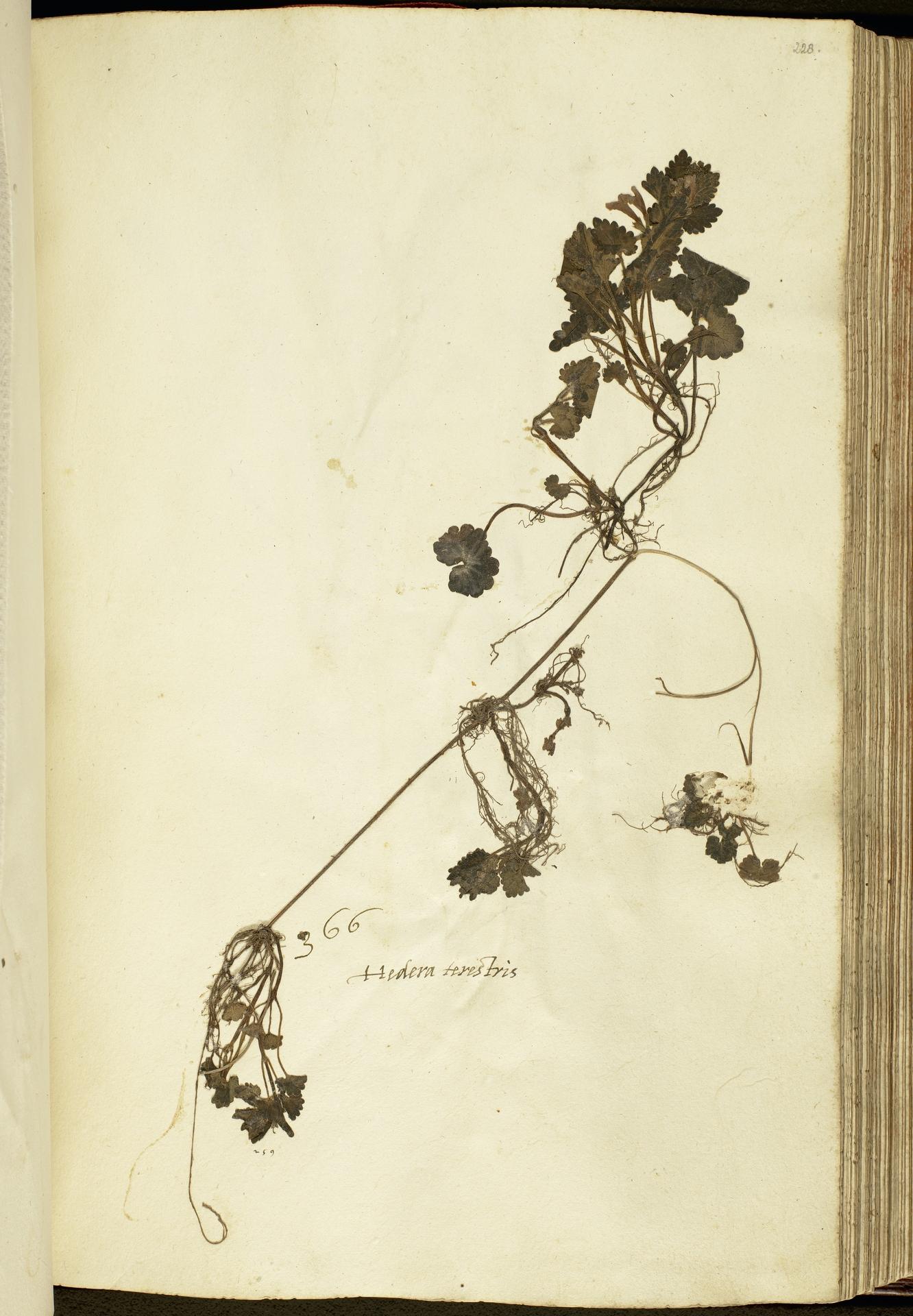 L.2111164 | Glechoma hederacea L.