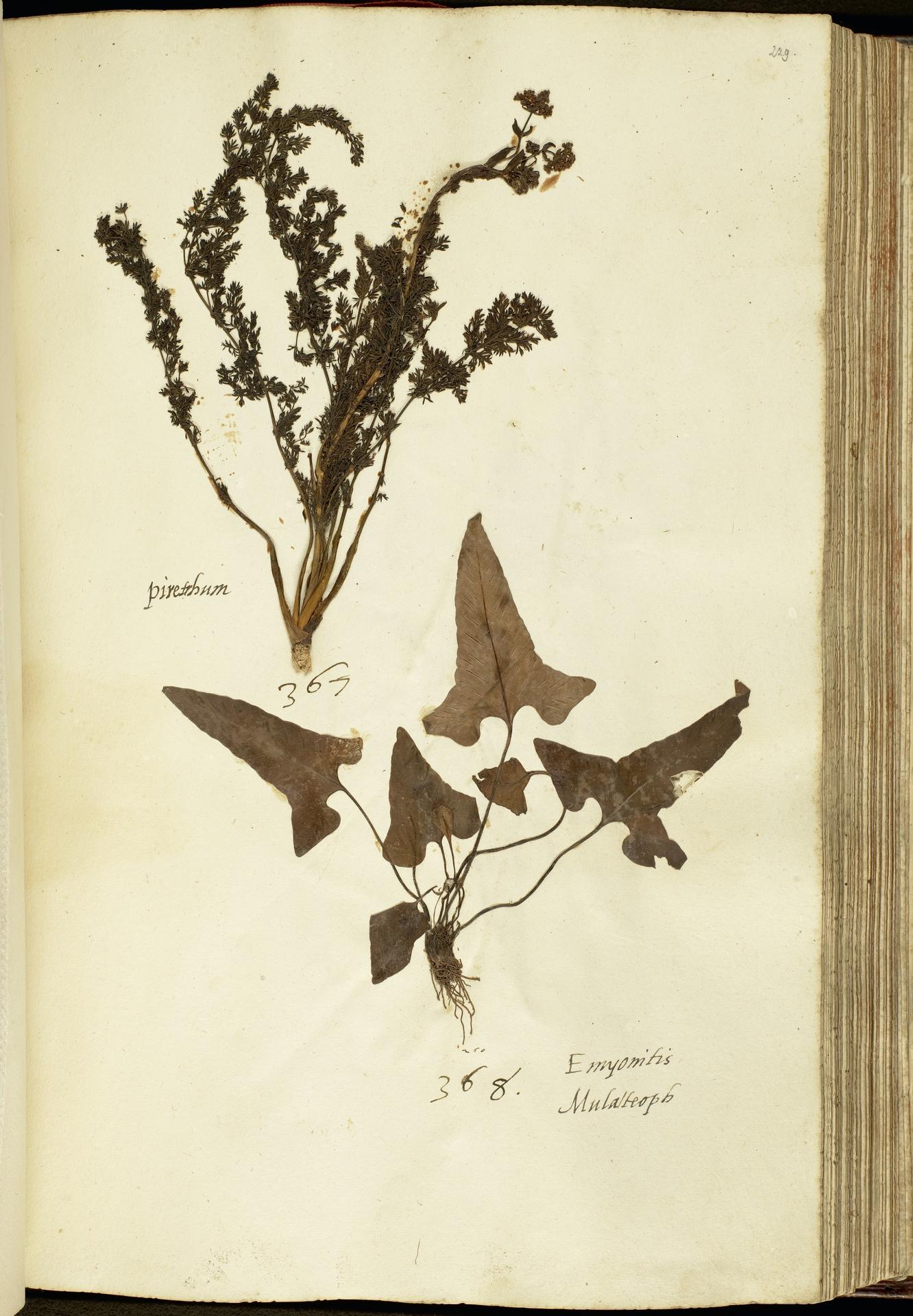 L.2111166 | Asplenium sagittatum (DC.) Bunge