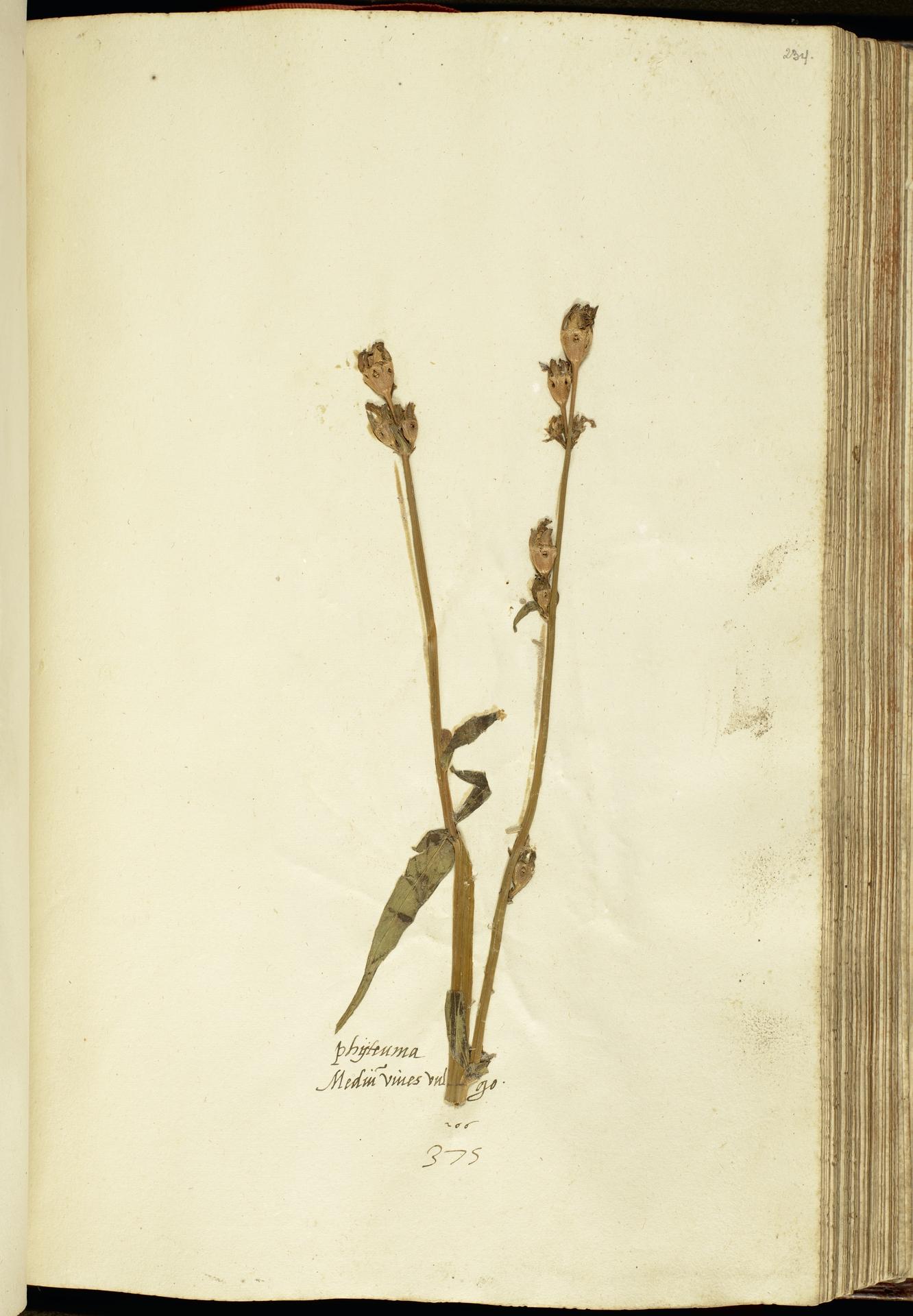 L.2111172 | Campanula persicifolia L.
