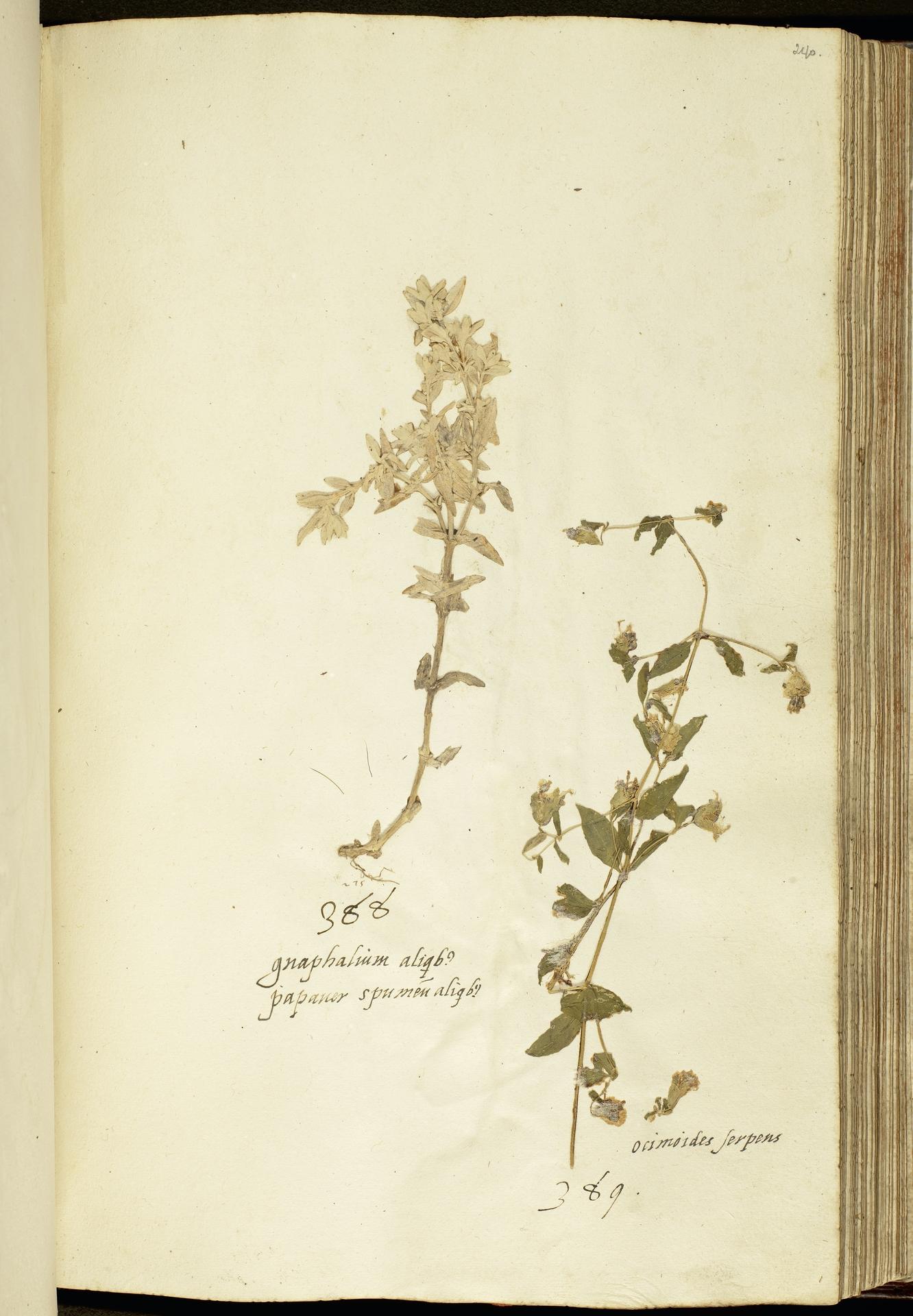 L.2111178 | Cerastium tomentosum L.