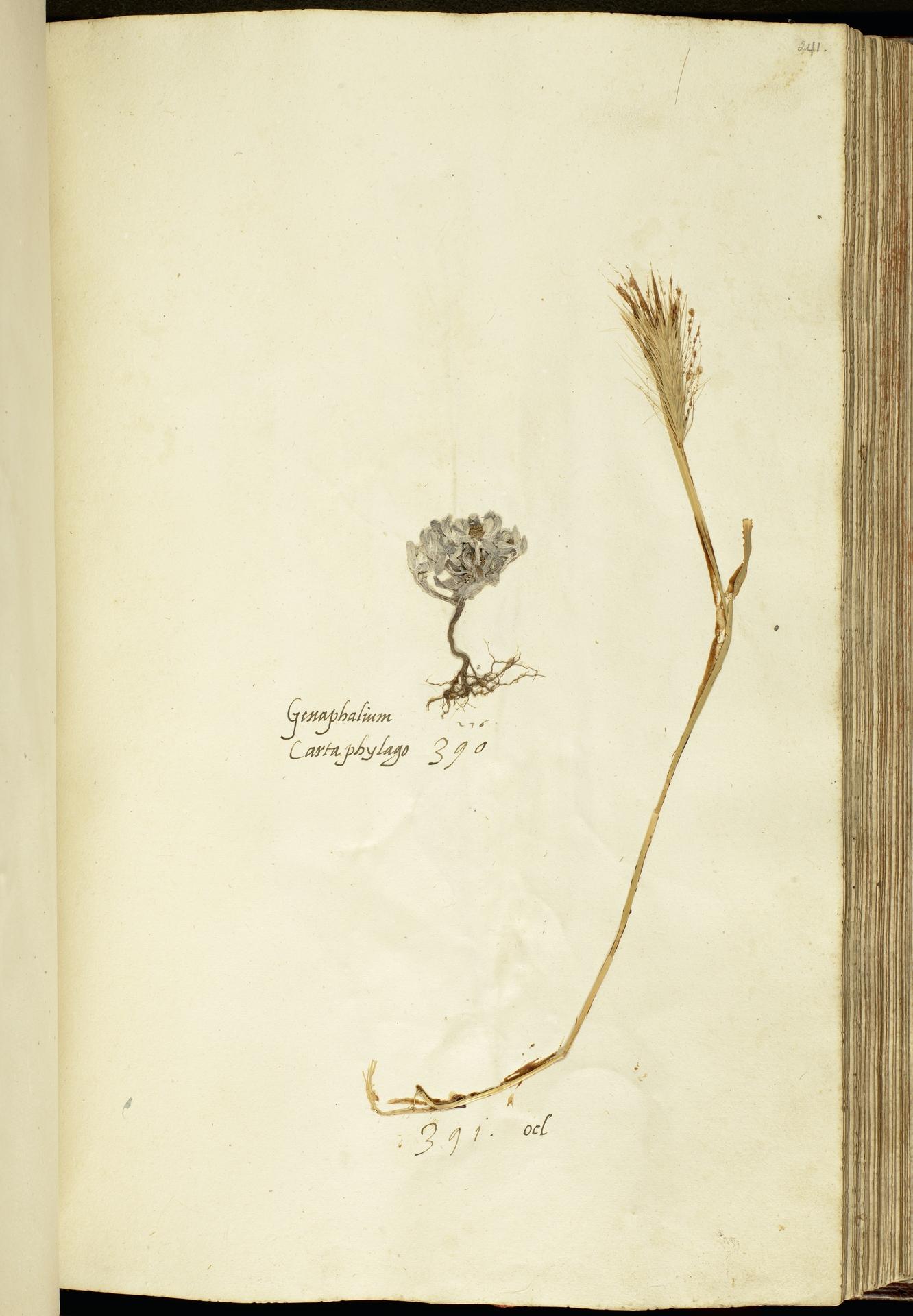 L.2111180 | Filago pygmaea L.